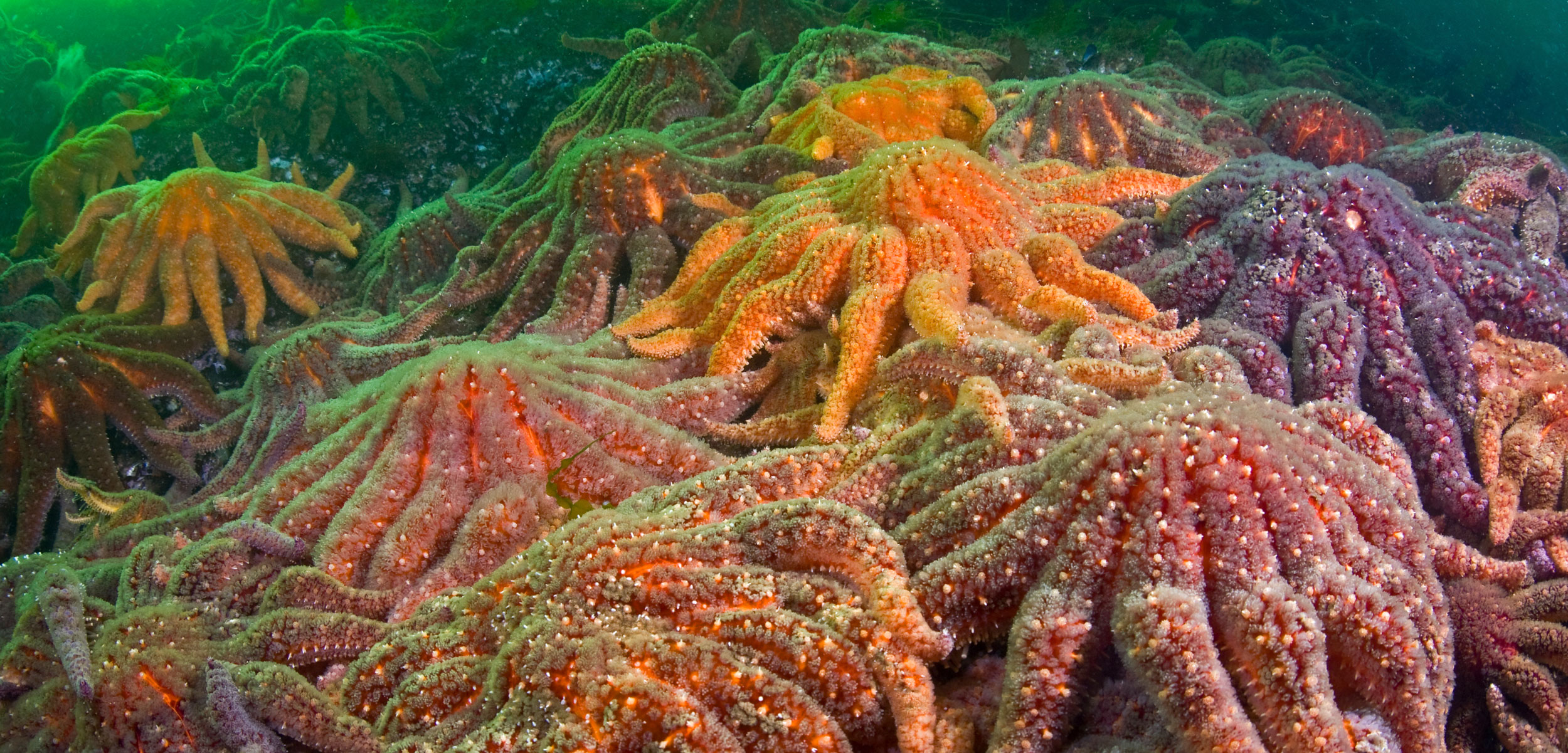 Large group of Sunflower sea stars (Asterias, Pycnopodia helianthoides)