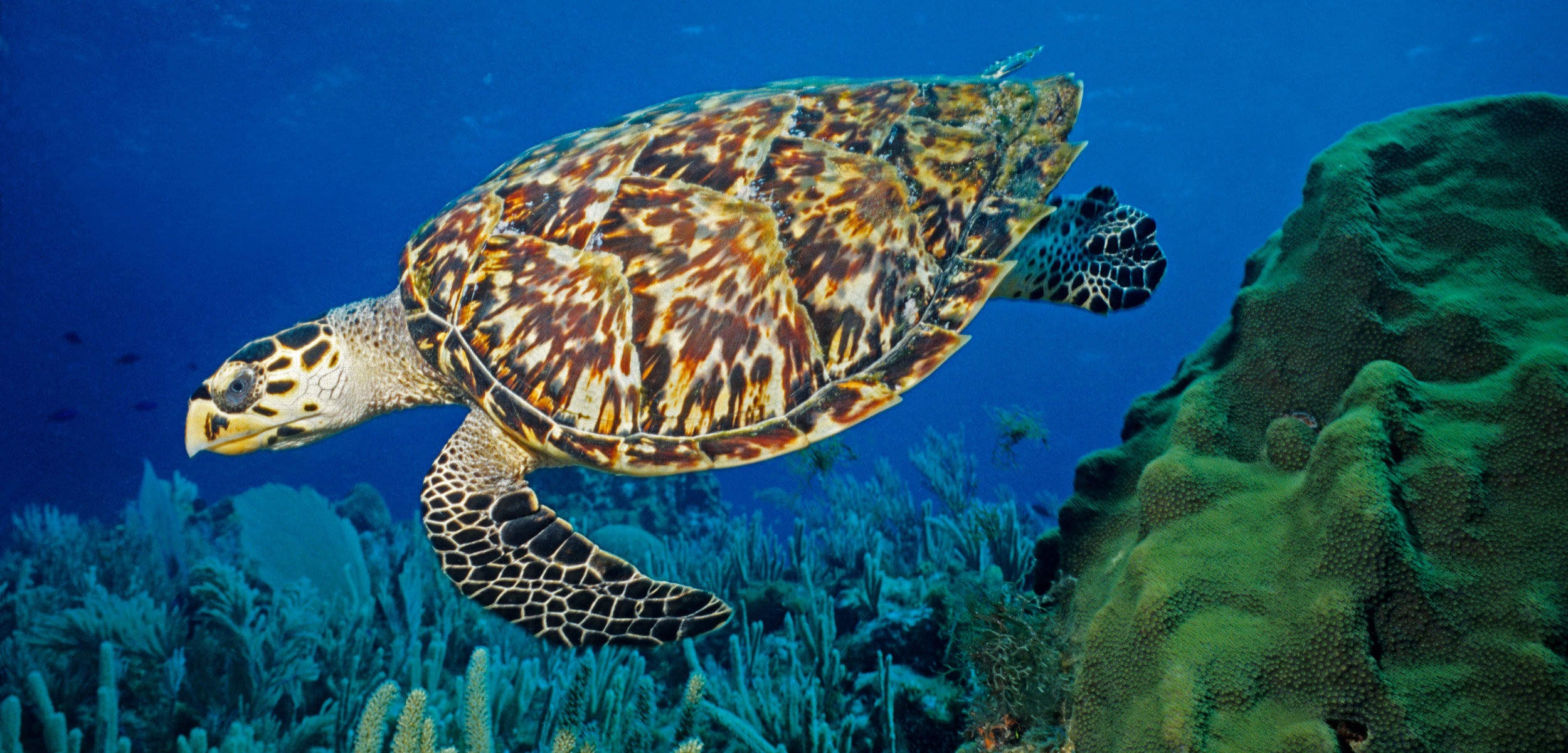 hawksbill turtle underwater