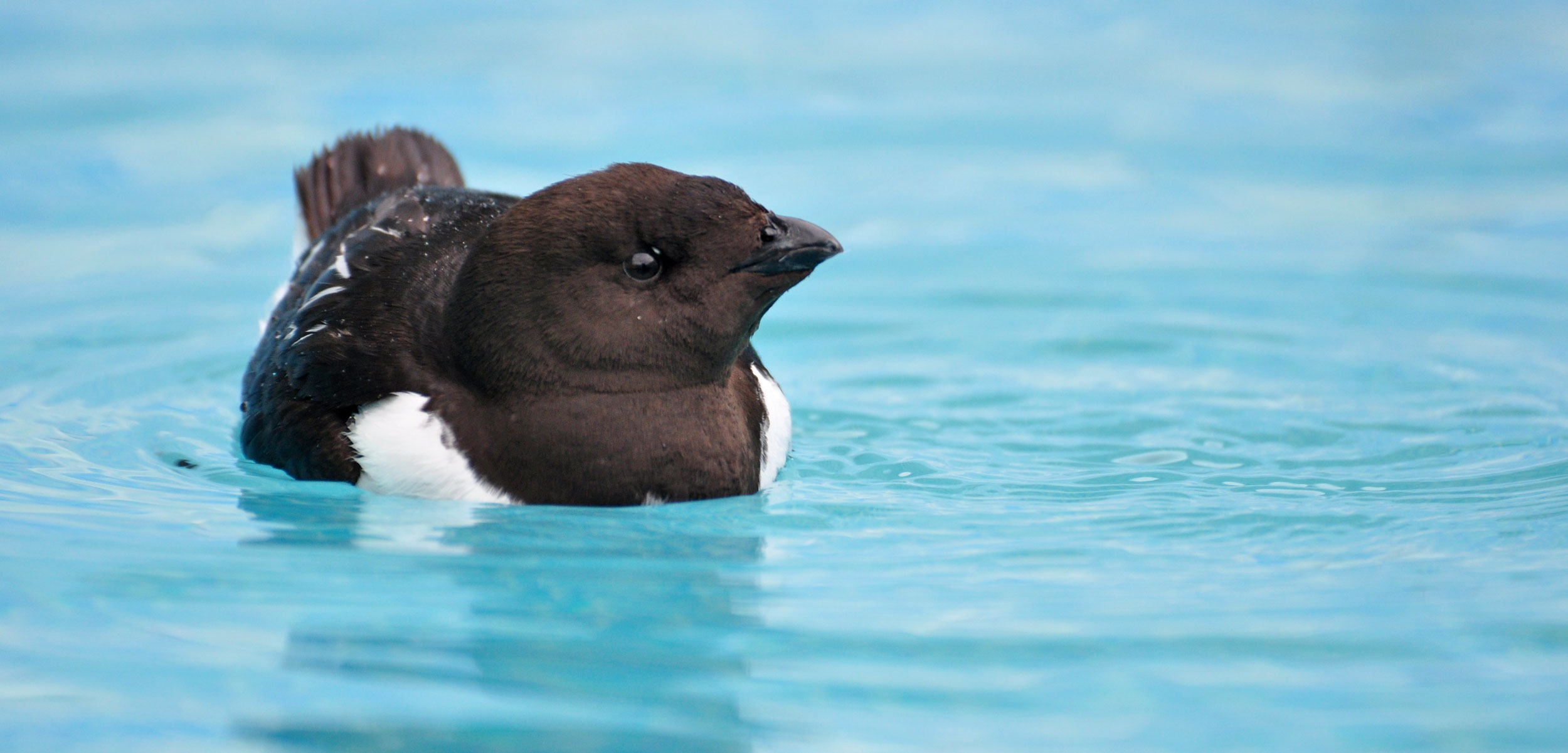 a little auk floating on a swimming pool