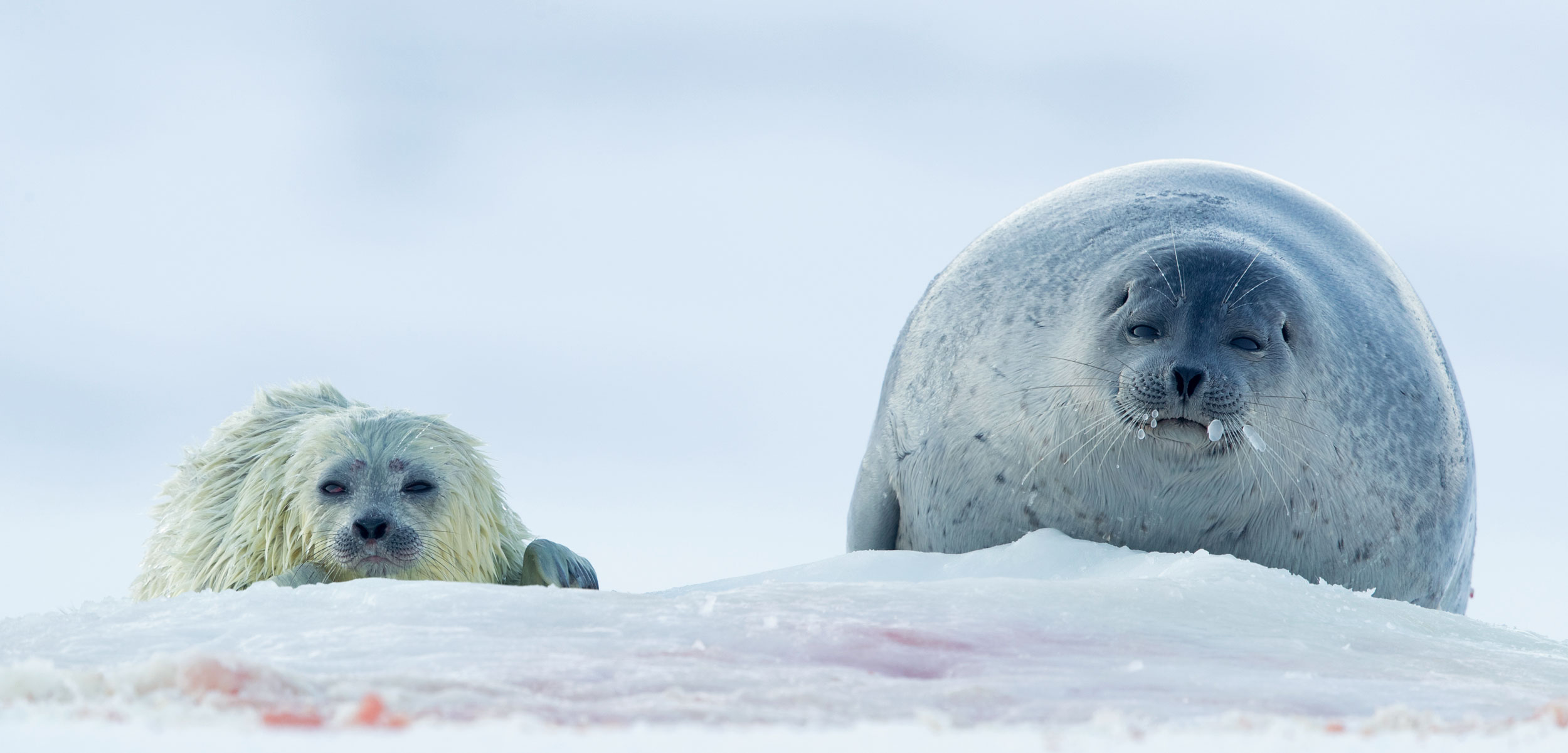 ringed seal and pup