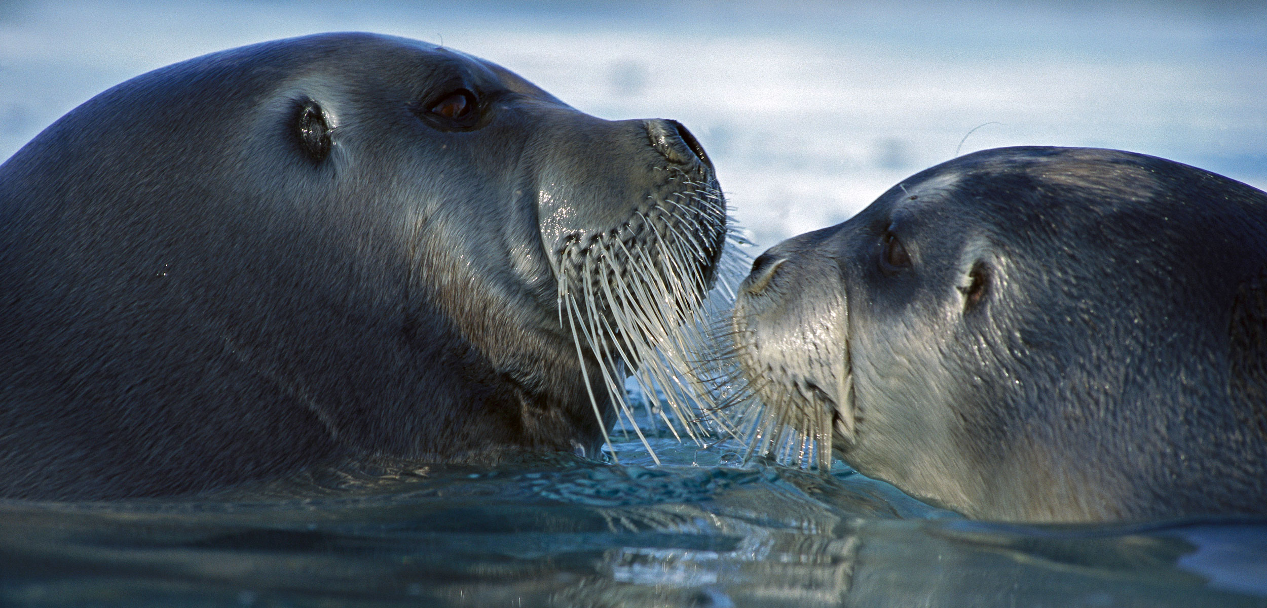 bearded seal and pup