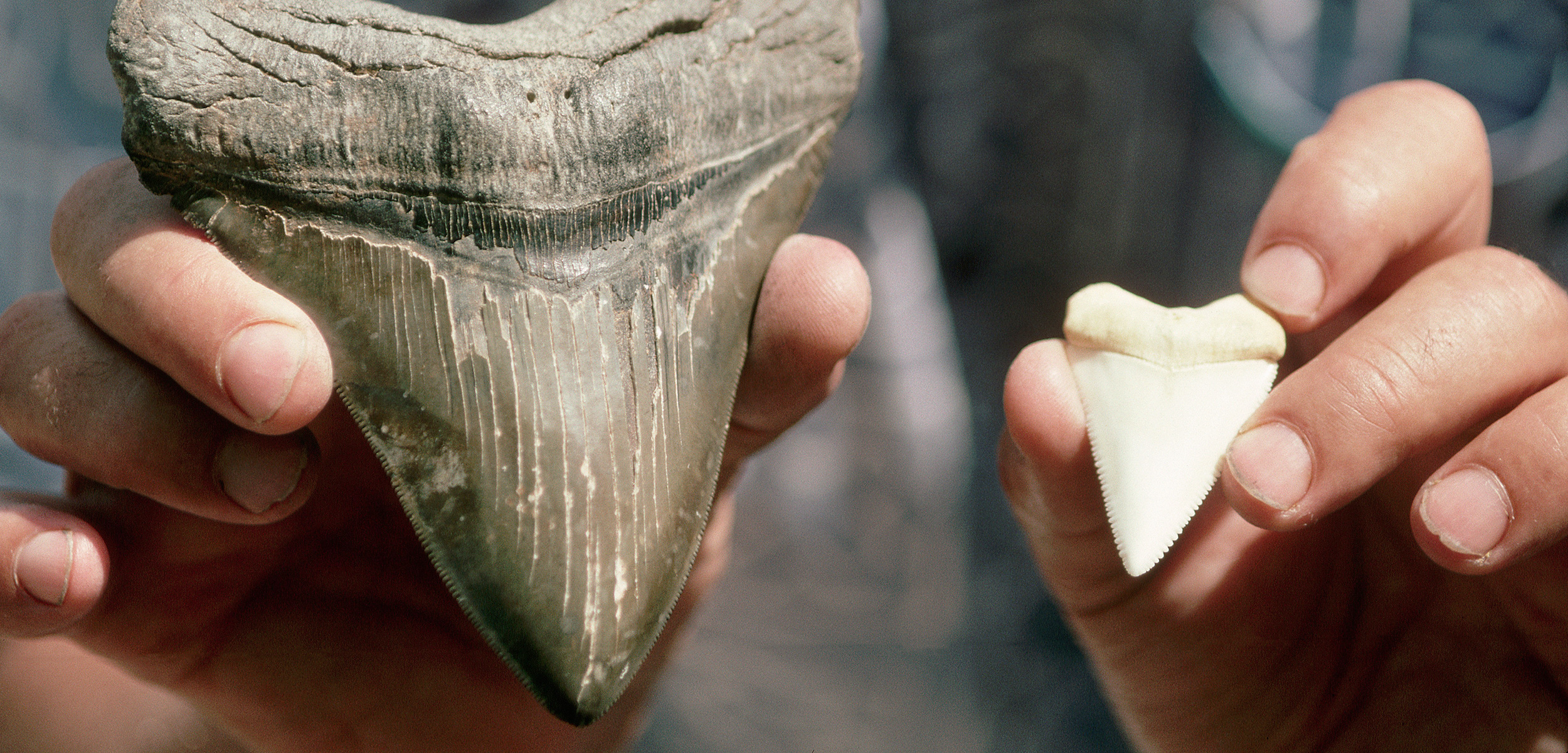 Megalodon teeth have been washing up on the shores of North Carolina. Here a megalodon tooth is held next to one from a great white shark. Photo by Jeffrey L. Rotman/Corbis