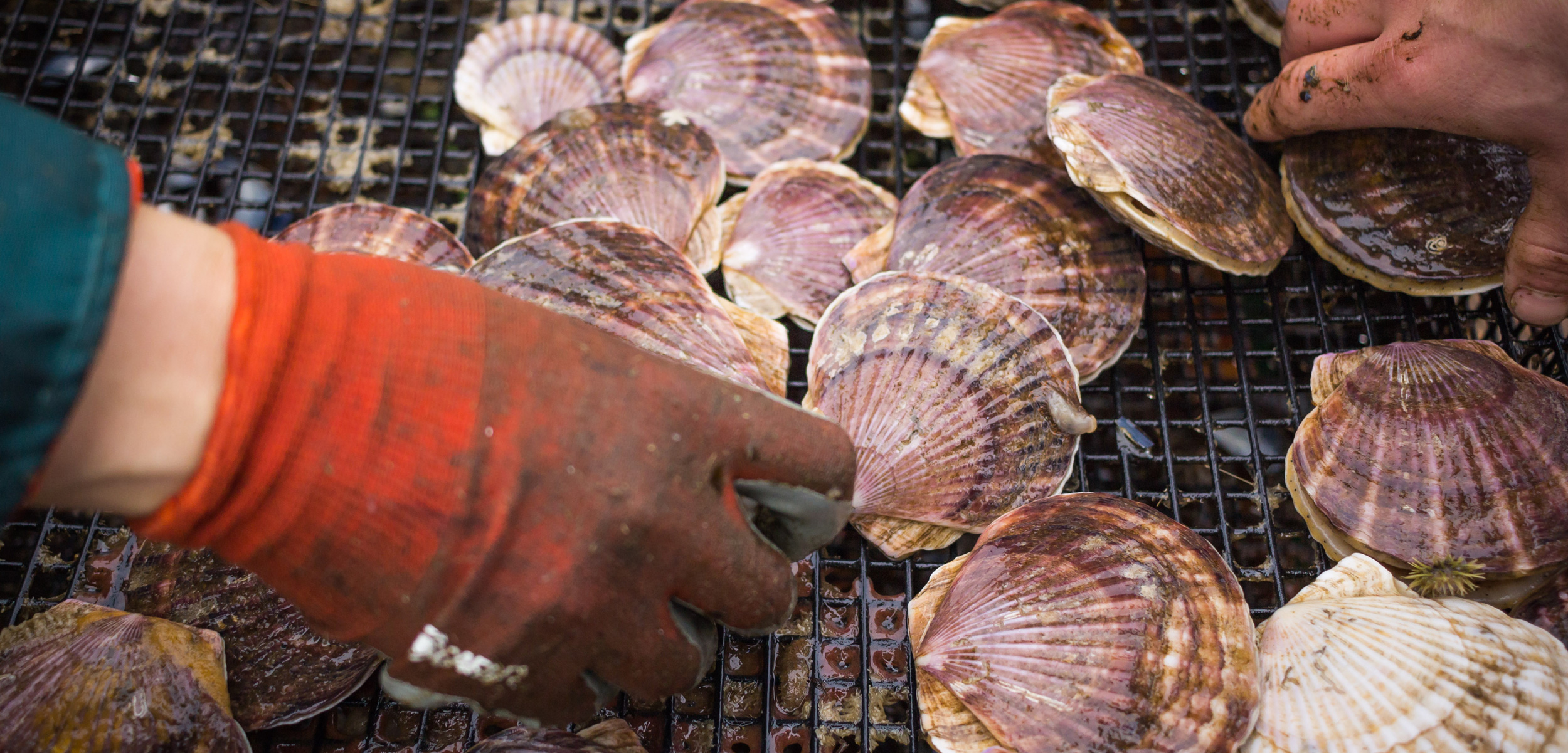 Scallops, like other shellfish, are facing a multitude of threats from climate change. Photo by Josh Silberg