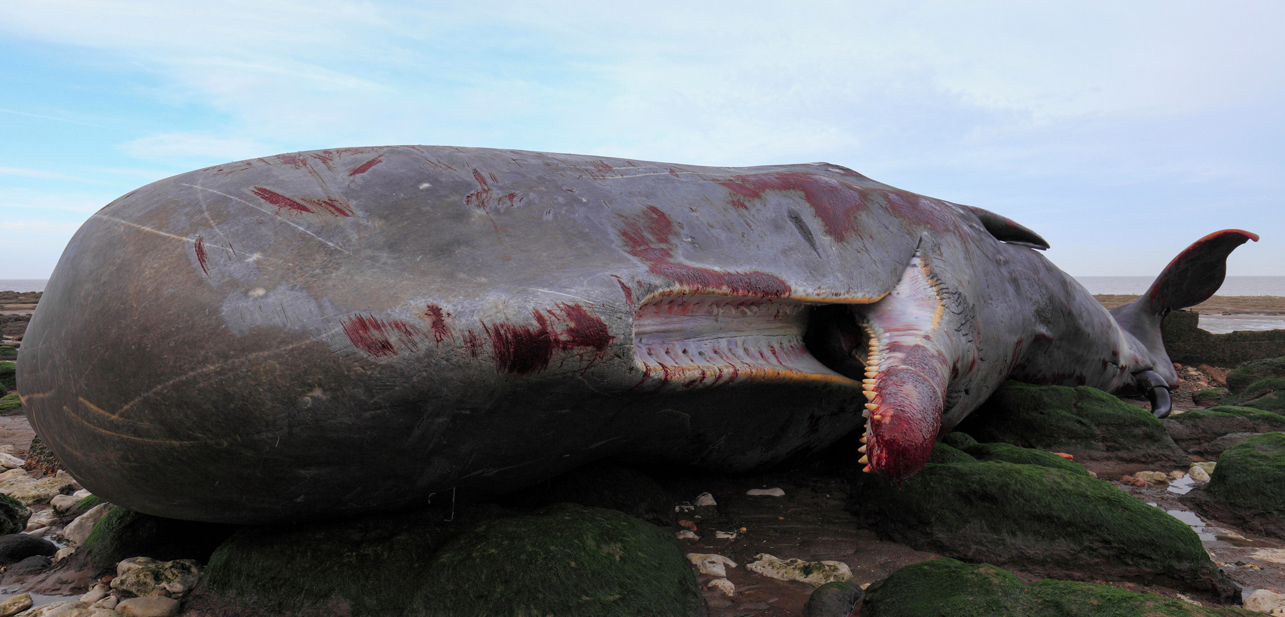 dead sperm whale on the shore