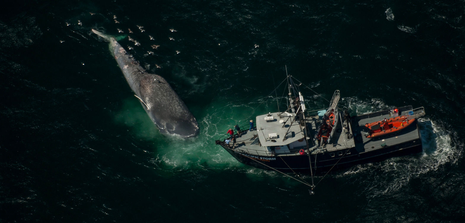 dead blue whale and research vessel from above