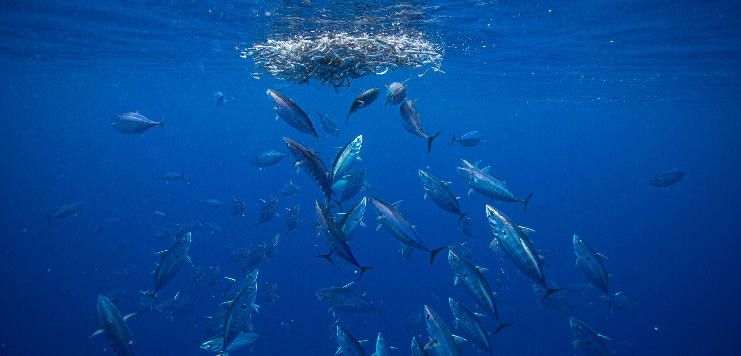 A school of skipjack tuna feed on northern anchovy