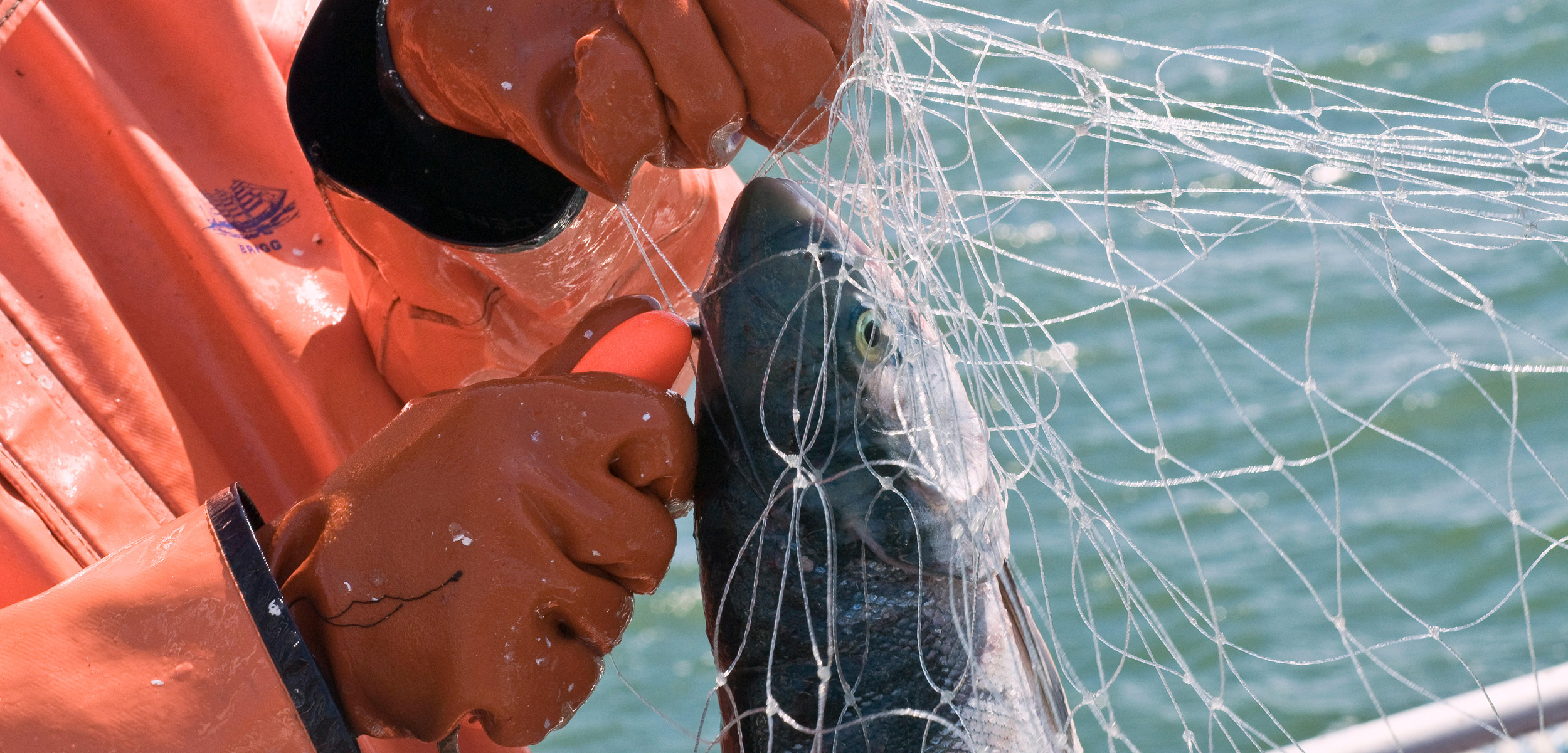 A fisher using a fish pick to remove a sockeye from a gillnet
