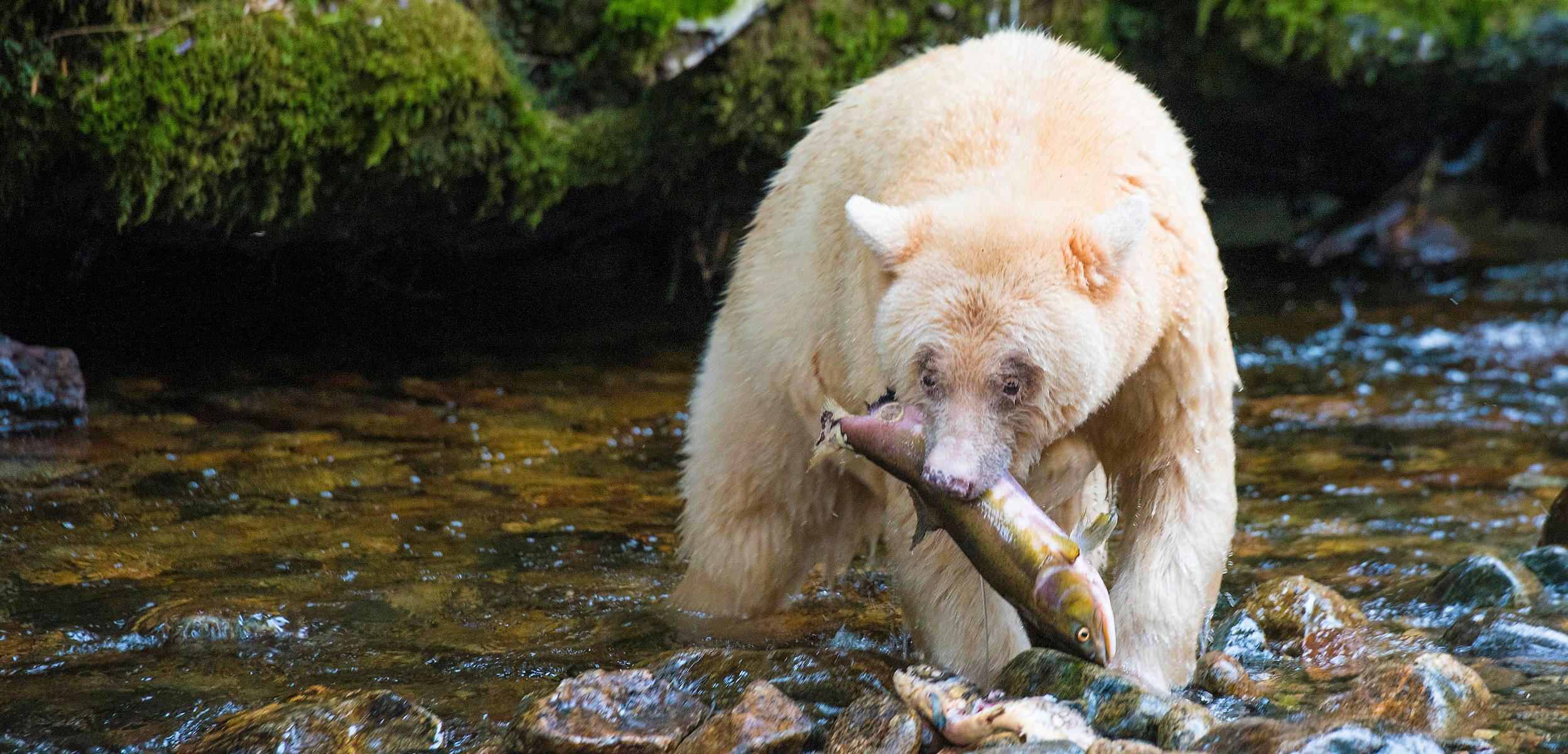 sprit bear with salmon