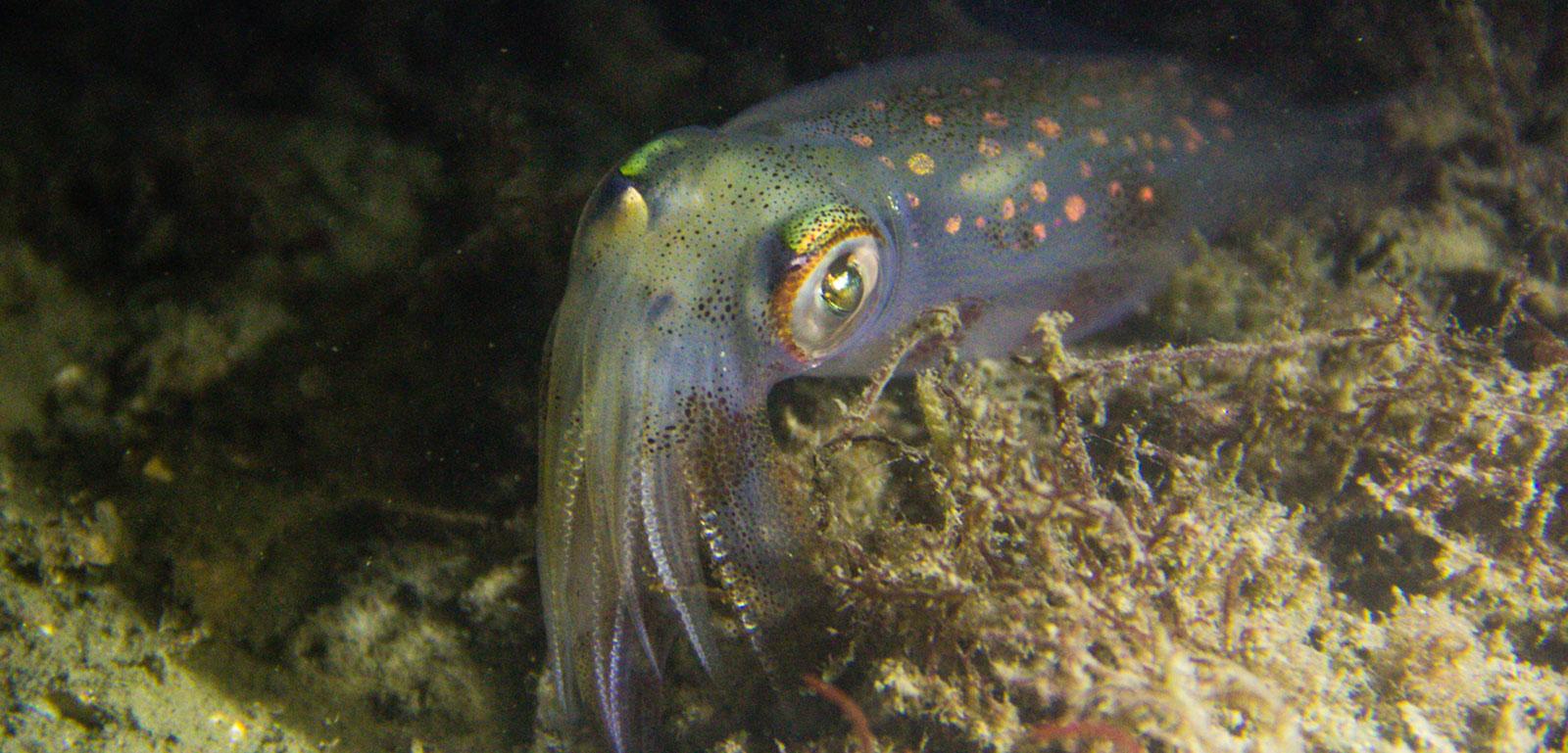 longfin inshore squid