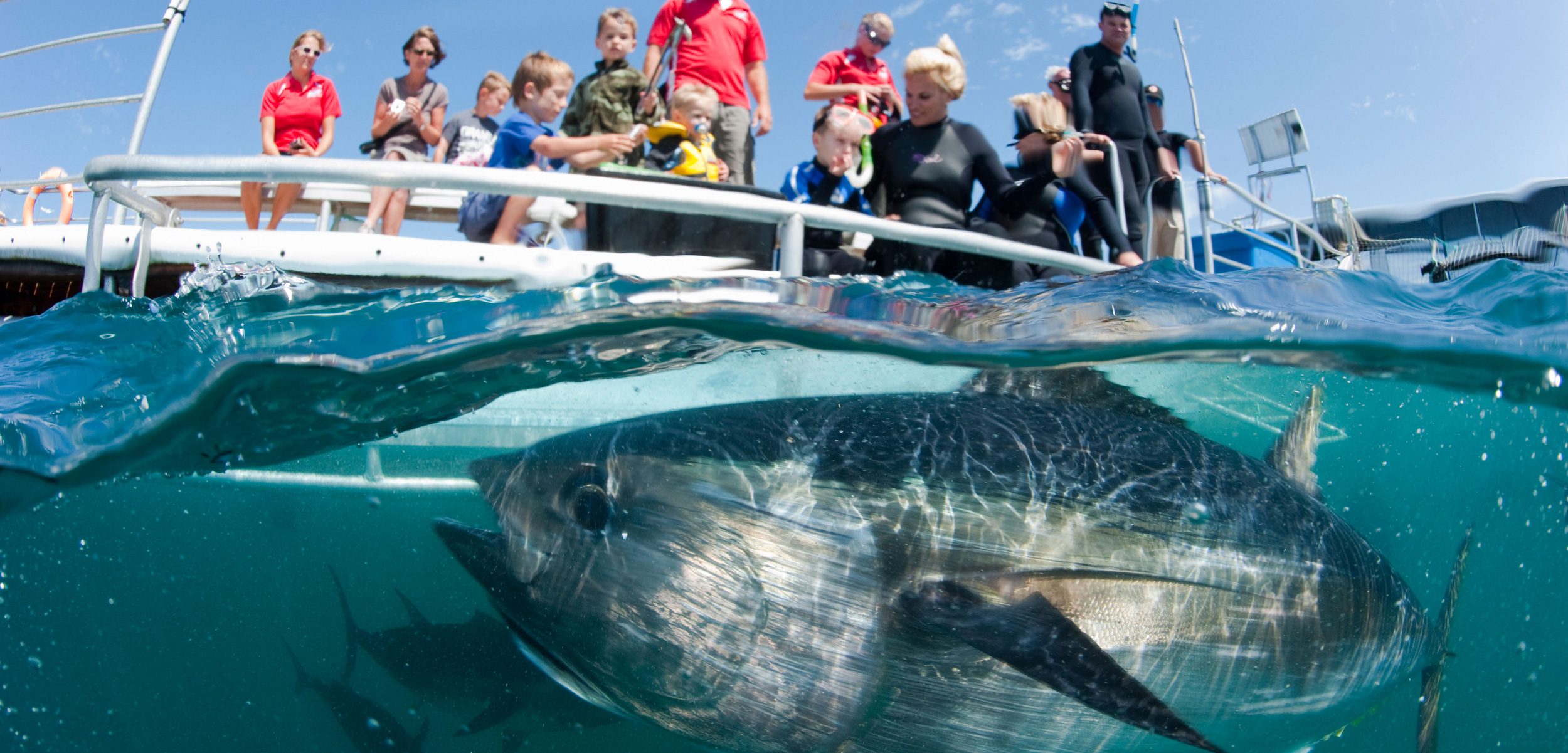 Ranching southern bluefin tuna has been a big-ticket industry in South Australia for years. One company hopes that inviting tourists to swim with the fish will prove successful, too. Photo by Michael Patrick O'Neill/Alamy Stock Photo