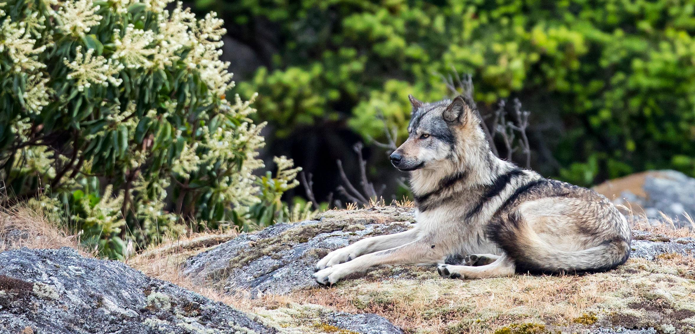 takaya the wolf