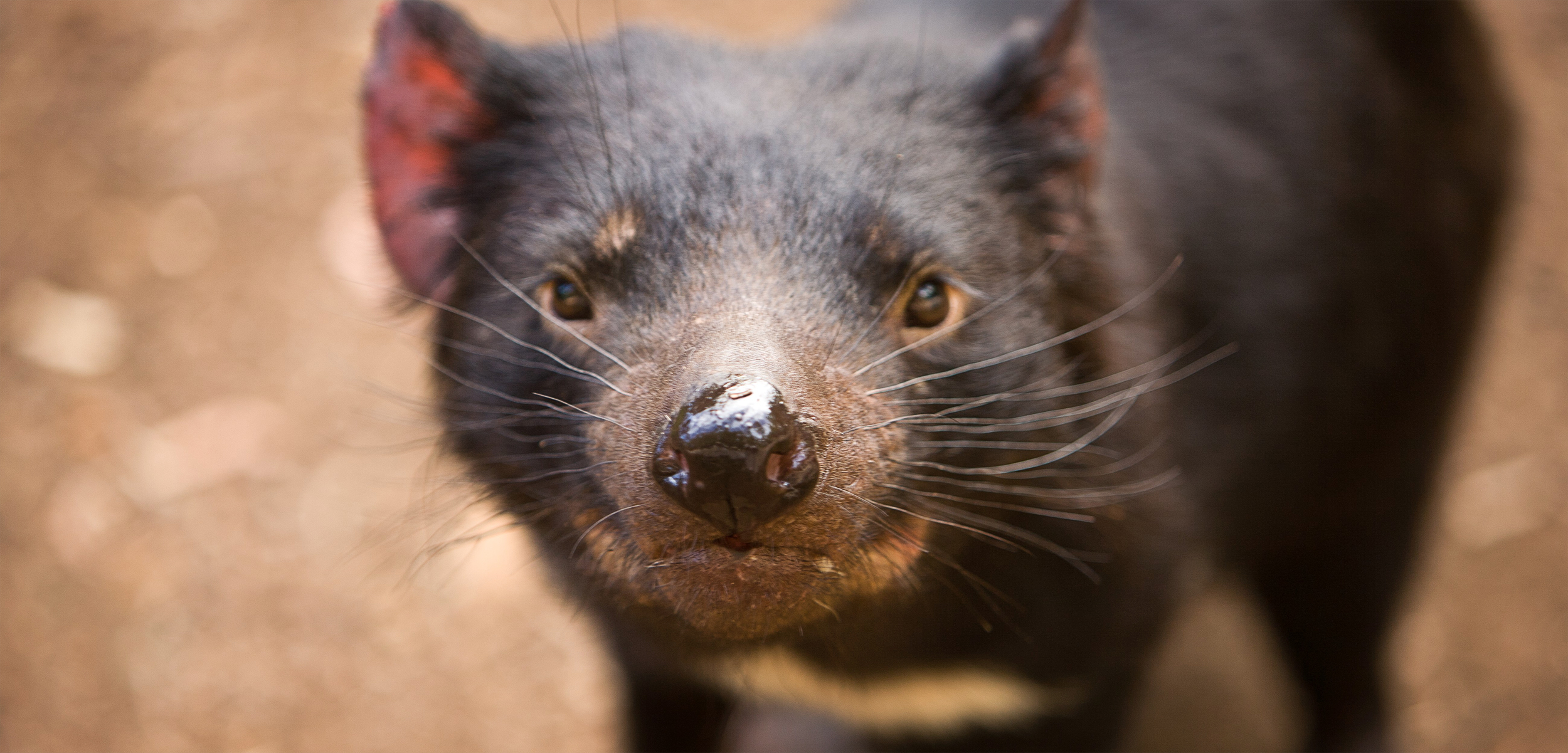 The Tasmanian devil is an icon of its home territory, but disease has ravaged the population. Biologists are rushing to raise devils in captivity and release them in disease-free areas before it's too late. Photo by Jake Warga/Corbis