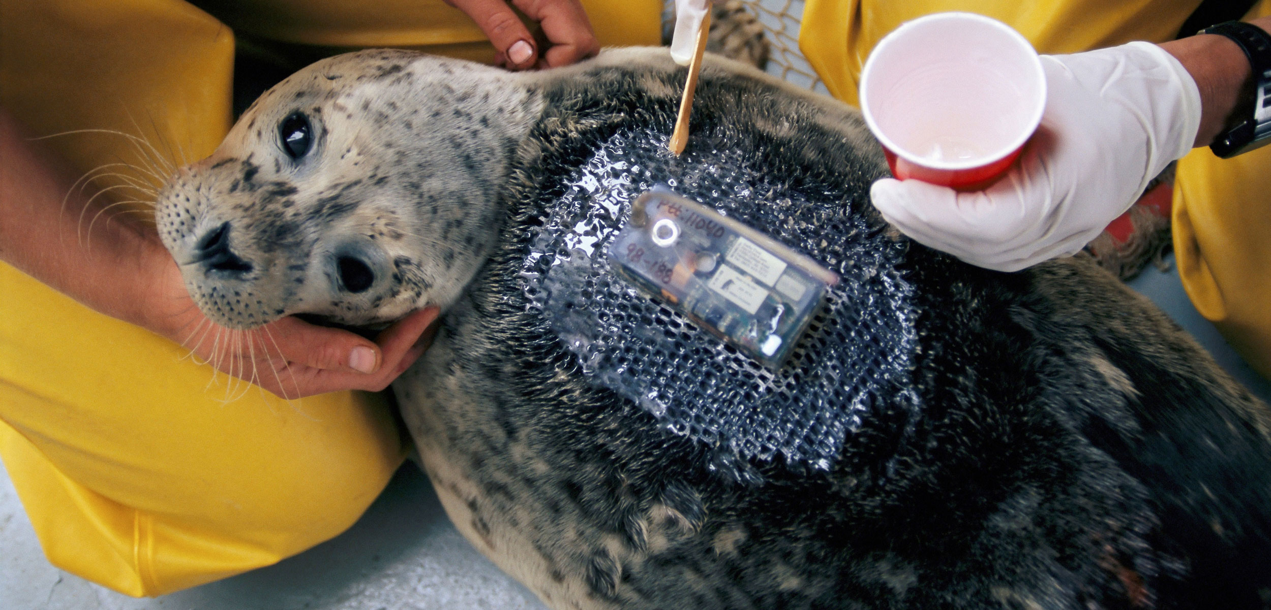 researchers attach a tracking device to a harbor seal
