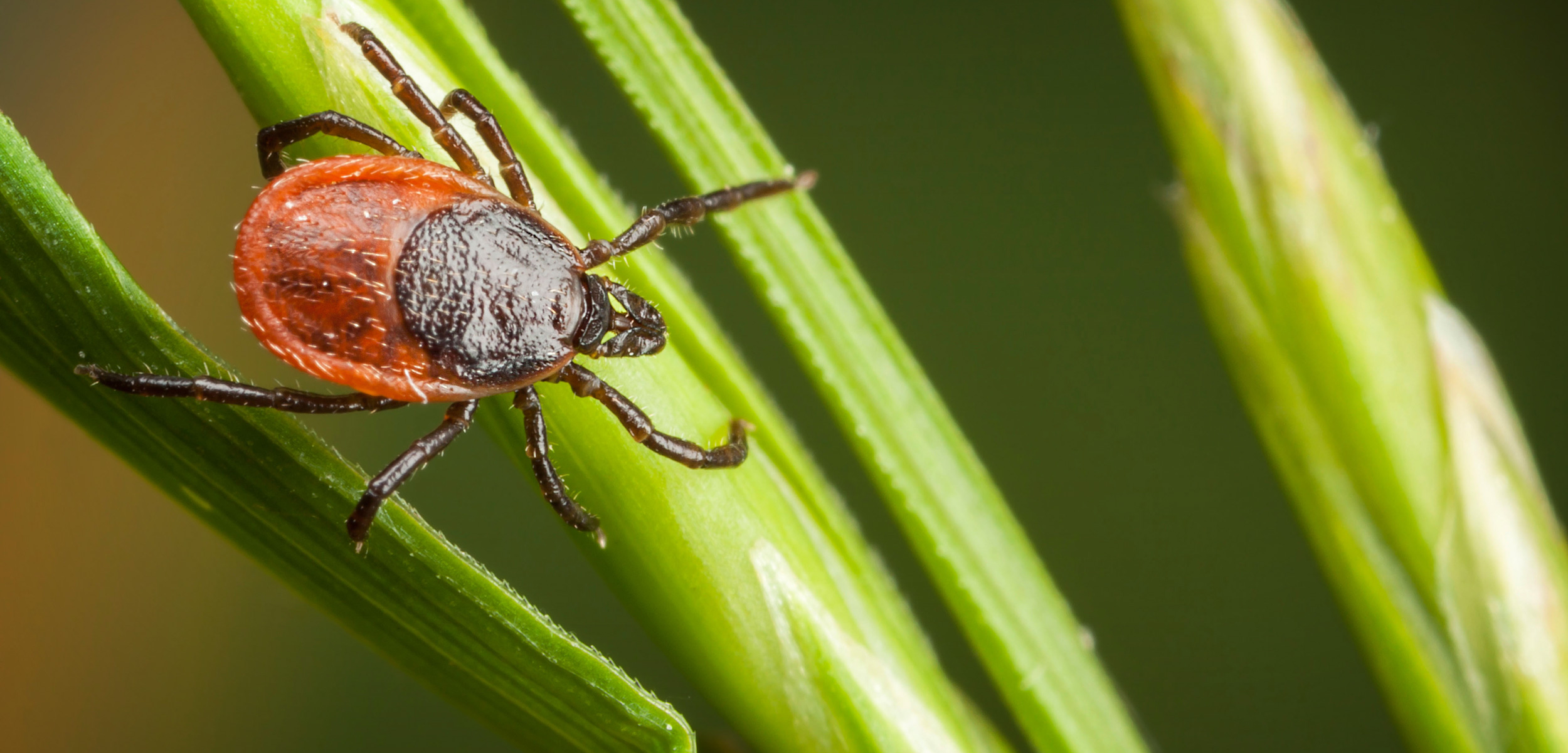 A deer tick infected with the Borrelia burgdorferi bacterium can cause Lyme disease in humans, typically after being attached to the body—often in hidden places, such as the groin, armpits, or scalp—for 36 to 48 hours. Photo by Risto Hunt/Alamy Stock Photo