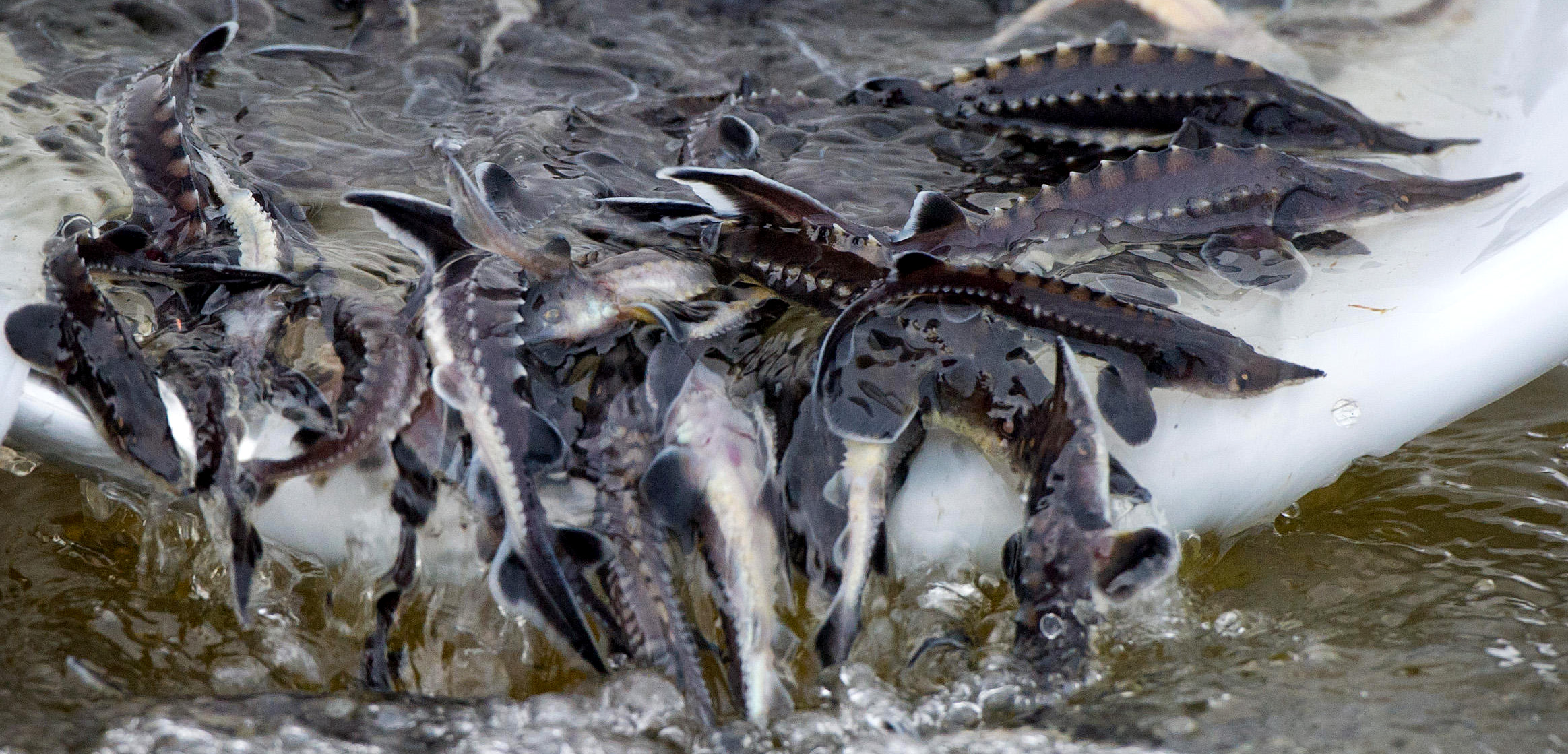 Small sturgeon are released into the Oder River near Hohesaaten, Germany