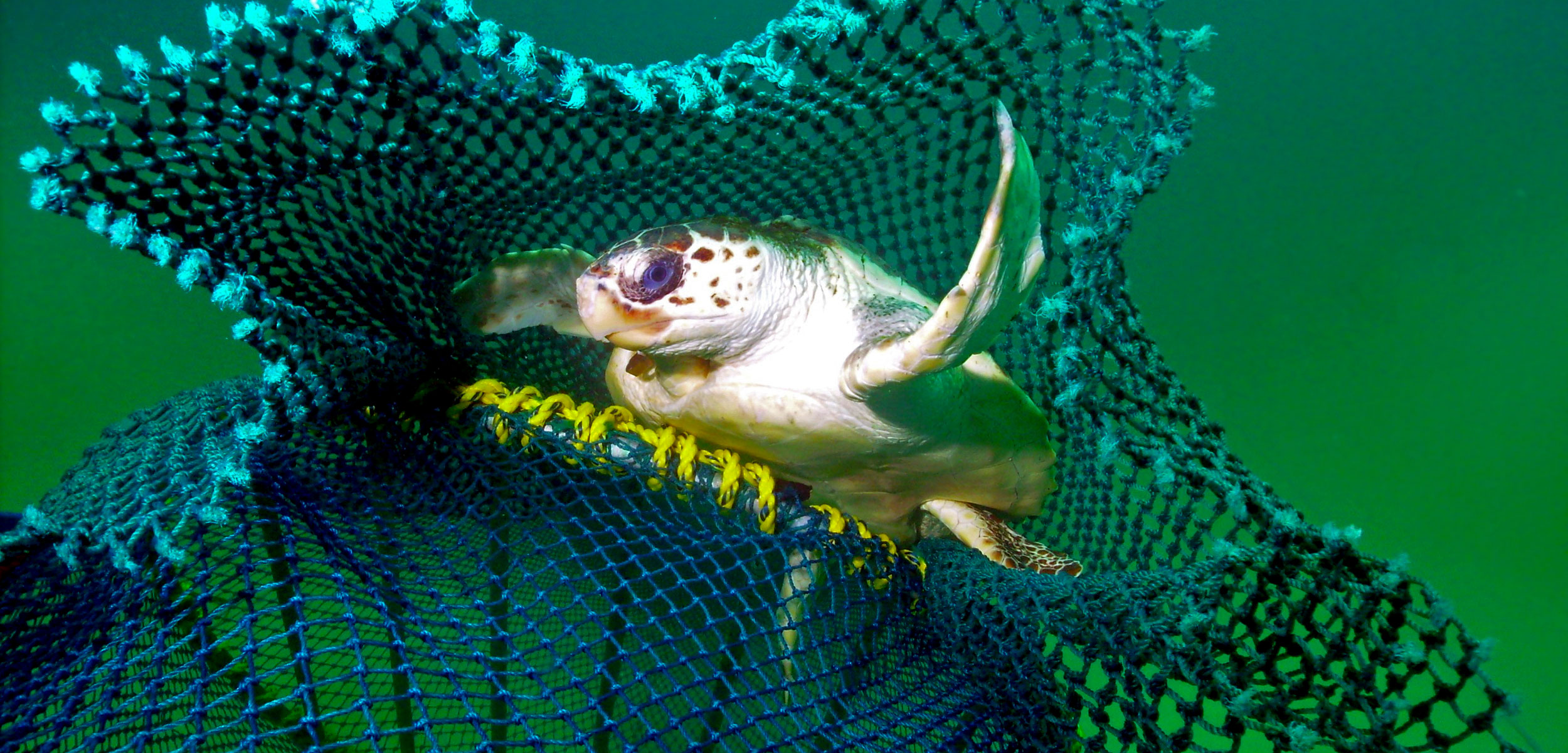 loggerhead turtle successfully escapes a net with a turtle excluder device installed