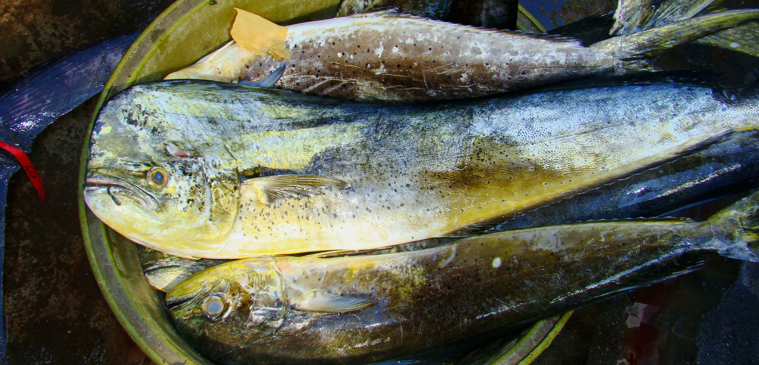 common dolphinfish—better known as mahi mahi or dorado