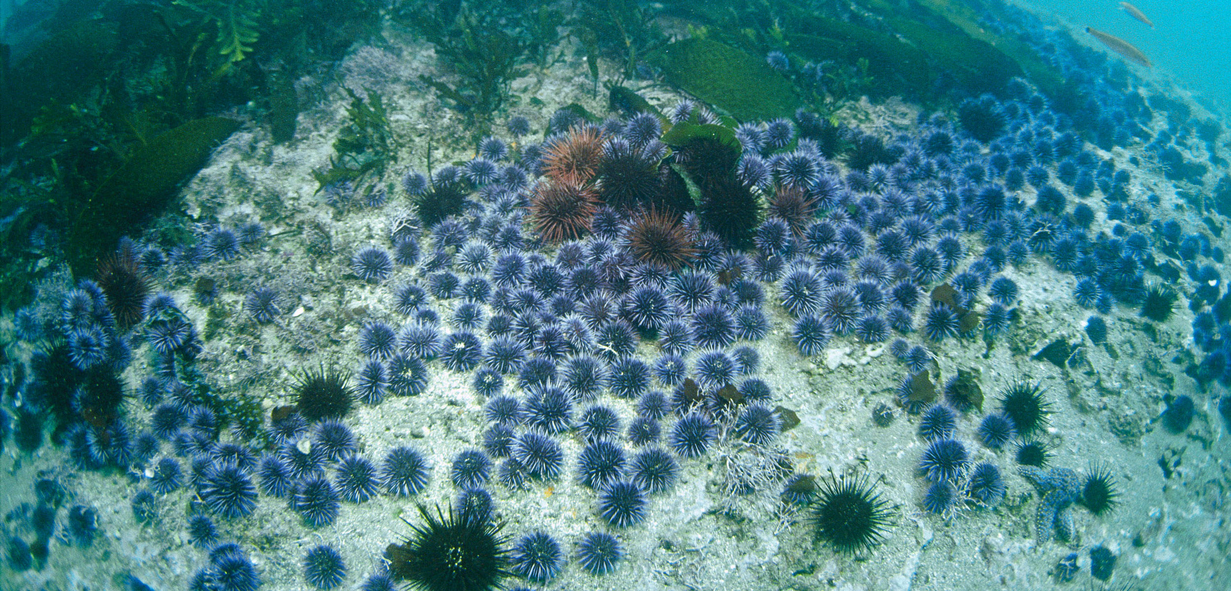 Purple Sea Urchin (Strongylocentrotus purpuratus) barren