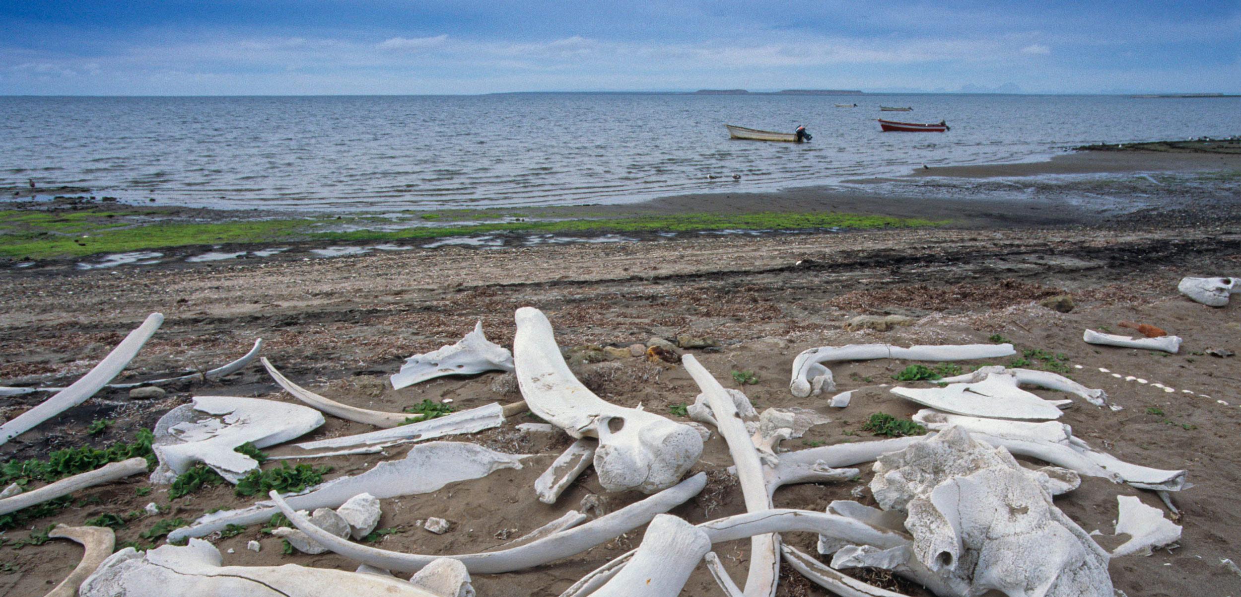 whale bones on beach, San Ignacio Lagoon, Baja California, Mexico