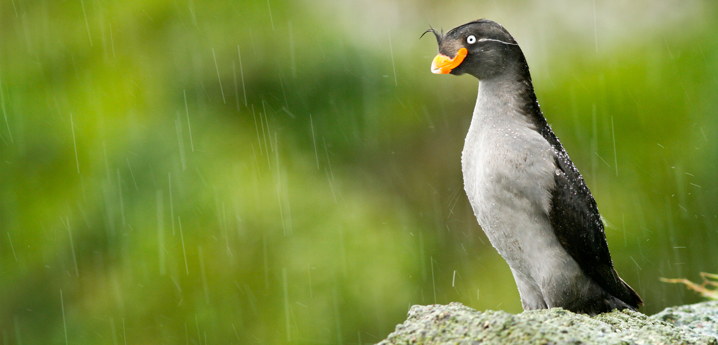 crested auklet on the Aleutian Islands