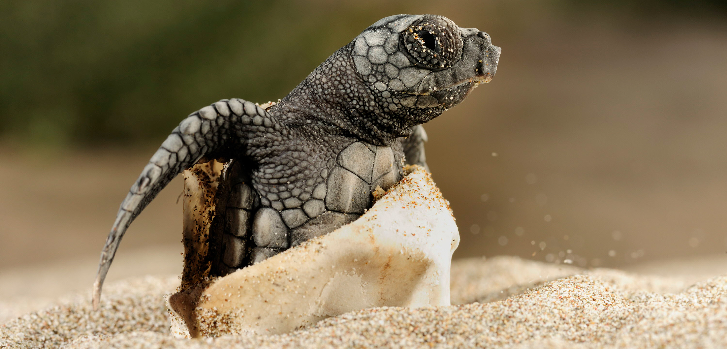Loggerhead turtle hatching