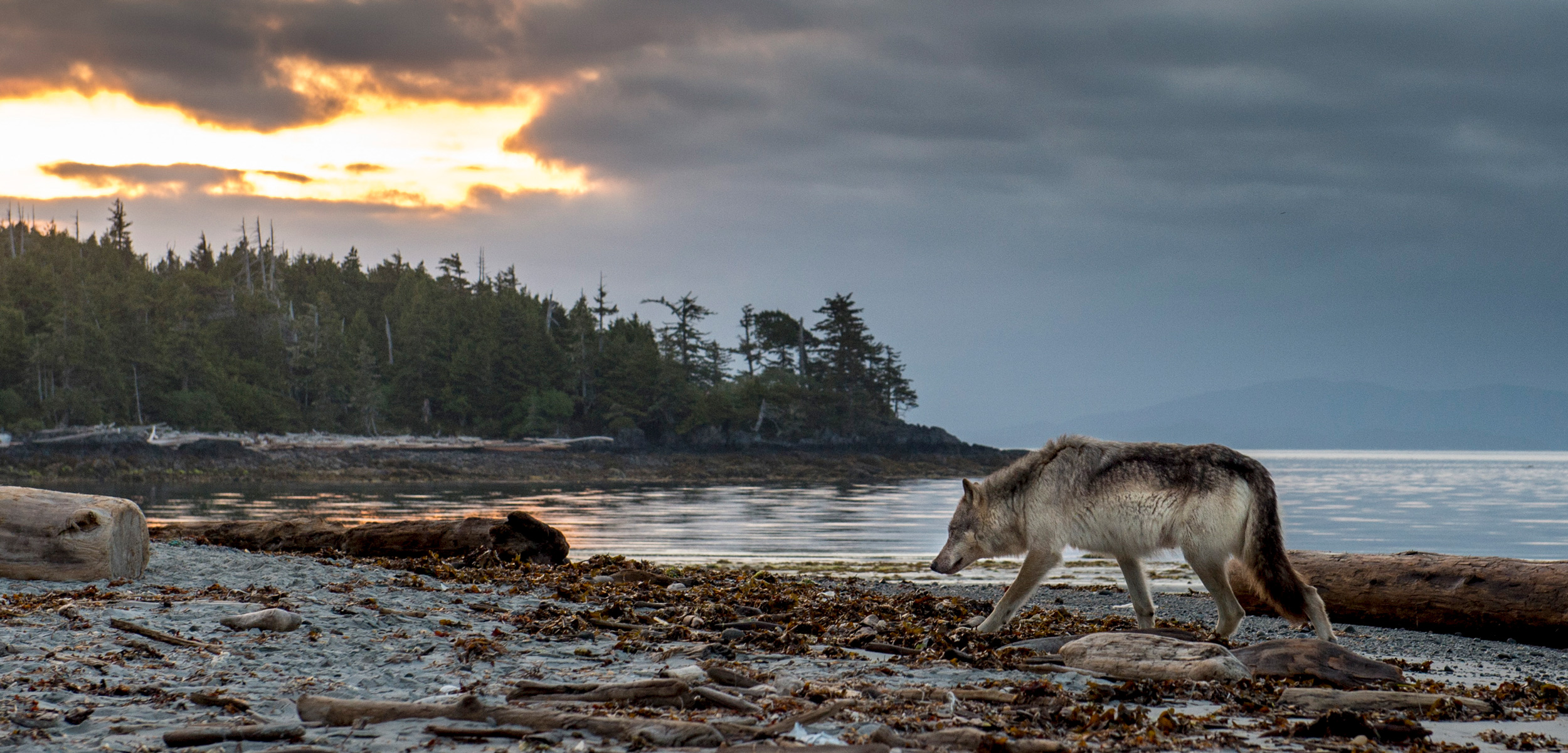 In the 20th century, humans exterminated the gray wolf population of British Columbia's Vancouver Island, the largest island on the west coast of North America. The animals repopulated the island by the end of the century, and now live side by side with people. Photo by April Bencze