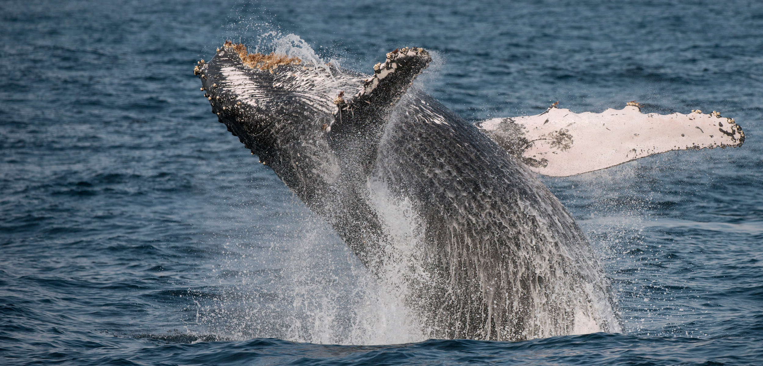 One of the most frequently asked questions about whales is why they breach. A study of humpback whales migrating past Australia offers the most definitive answers yet. Photo by Pete Oxford/Minden Pictures