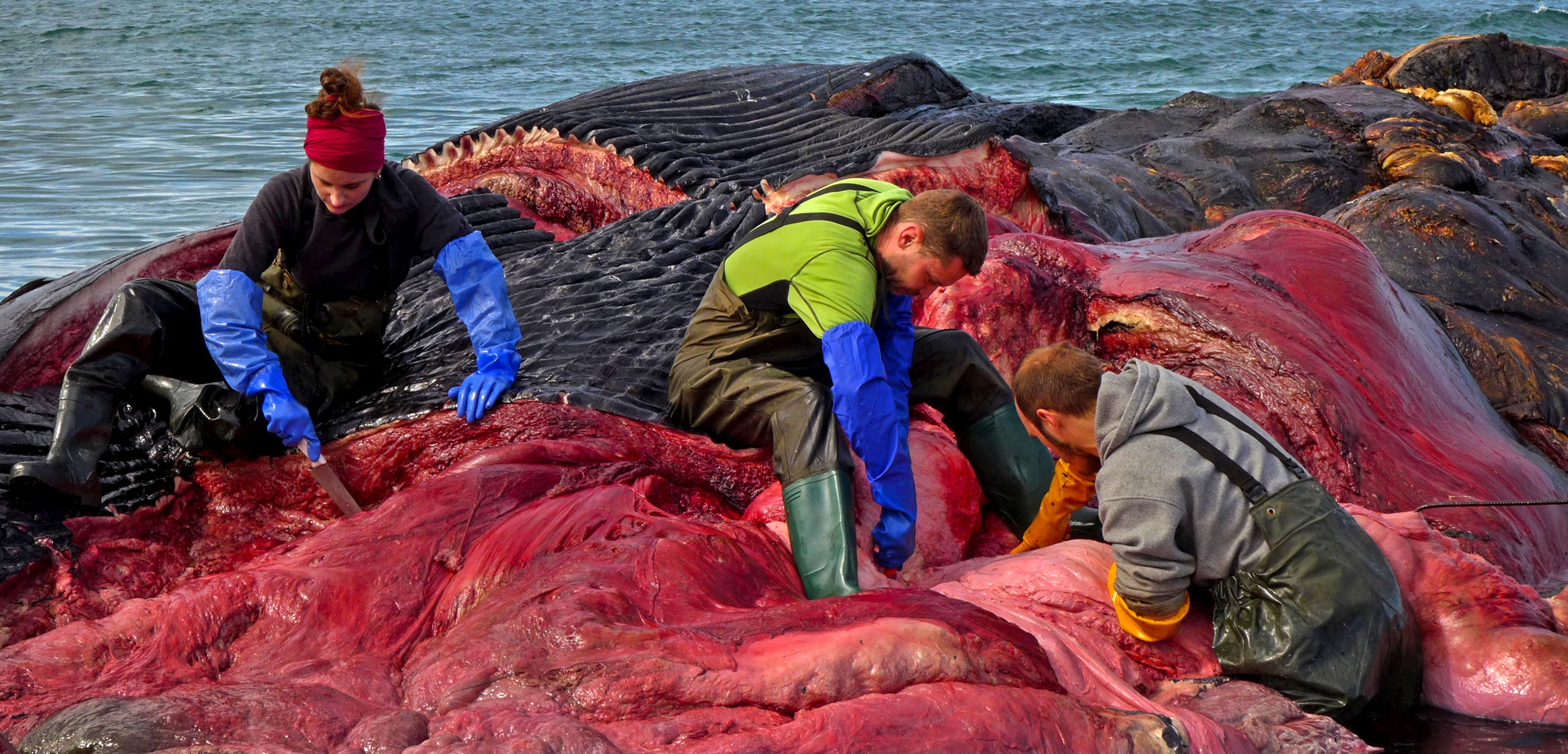 researchers and volunteers remove the flesh from a dead blue whale