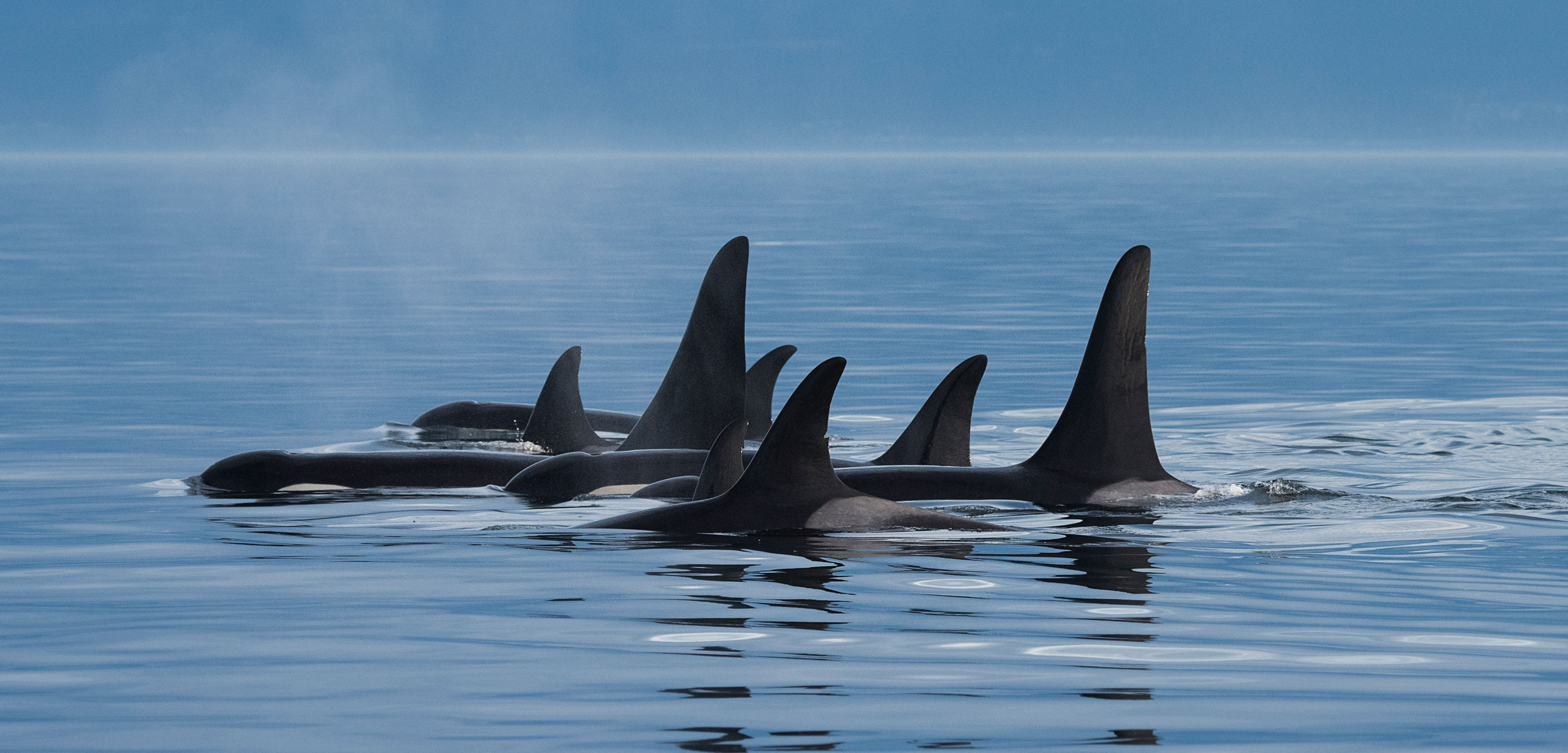 Starving Killer Whales Are Losing Most of Their Babies Hakai Magazine