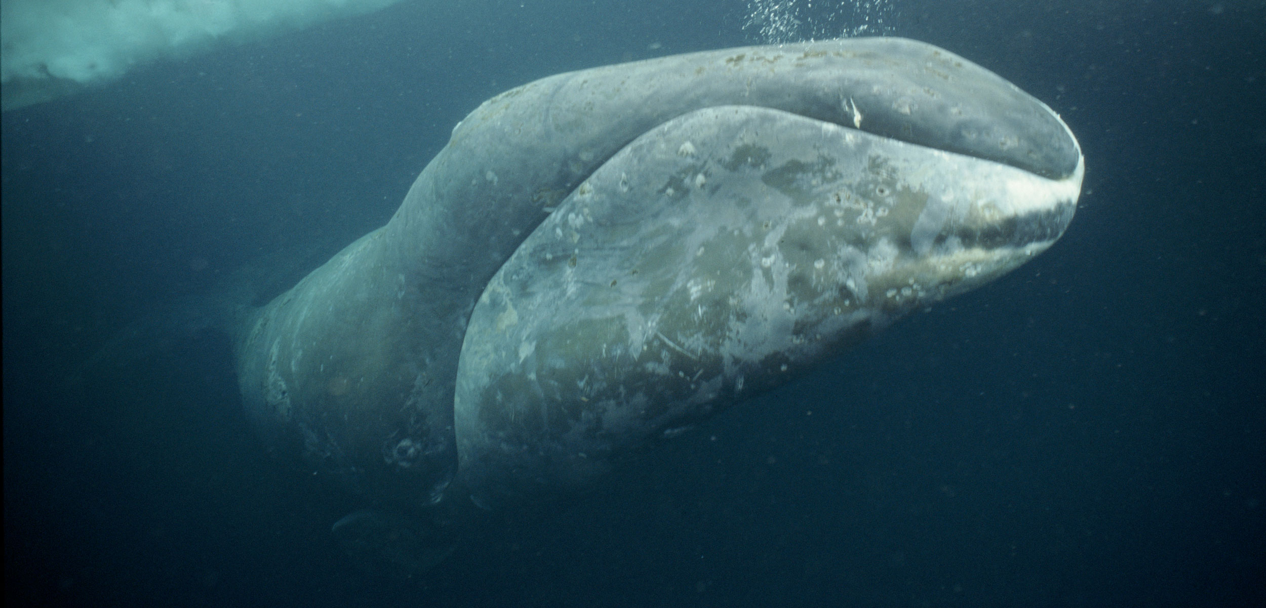 a bowhead whale in the arctic