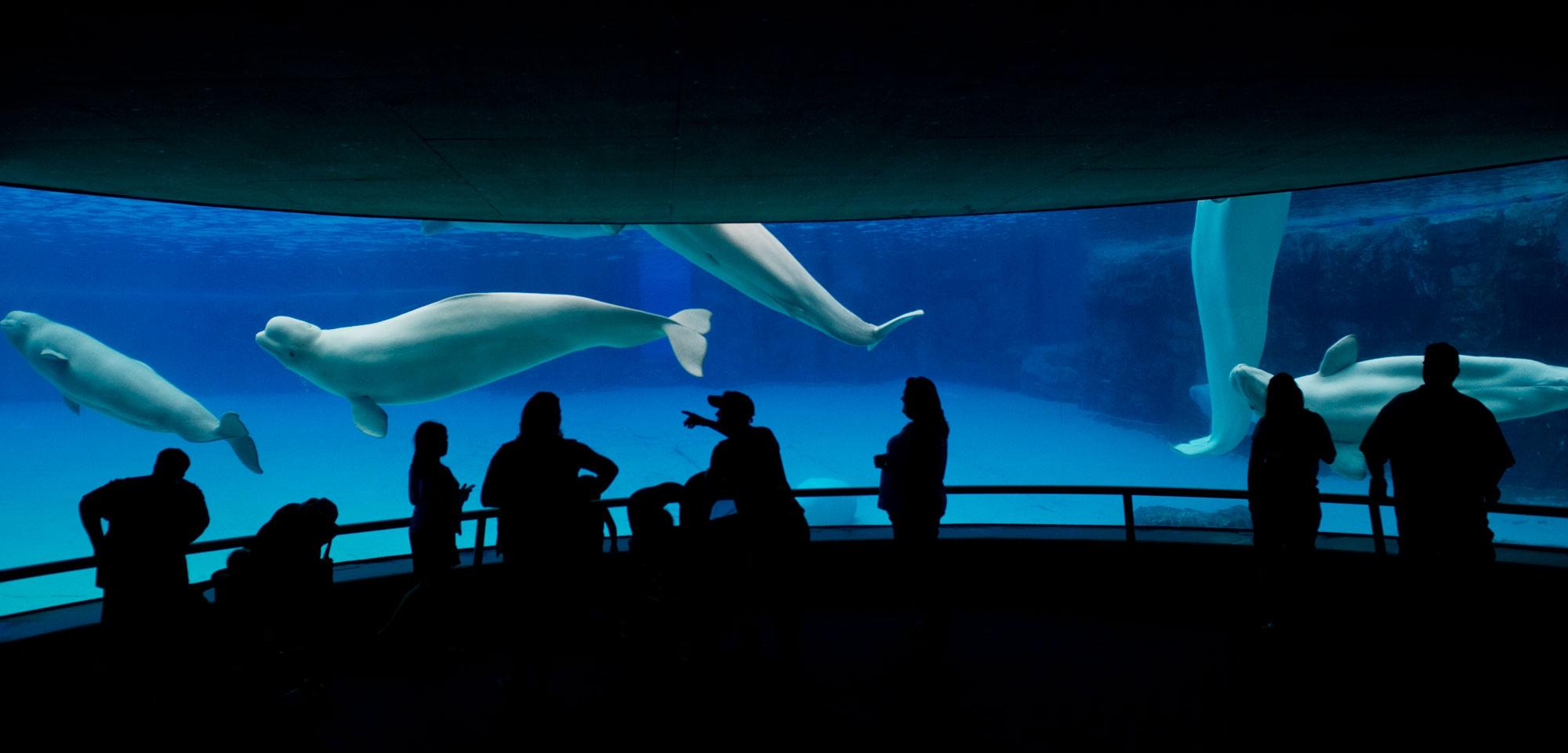 beluga whales at Marineland, Niagara Falls