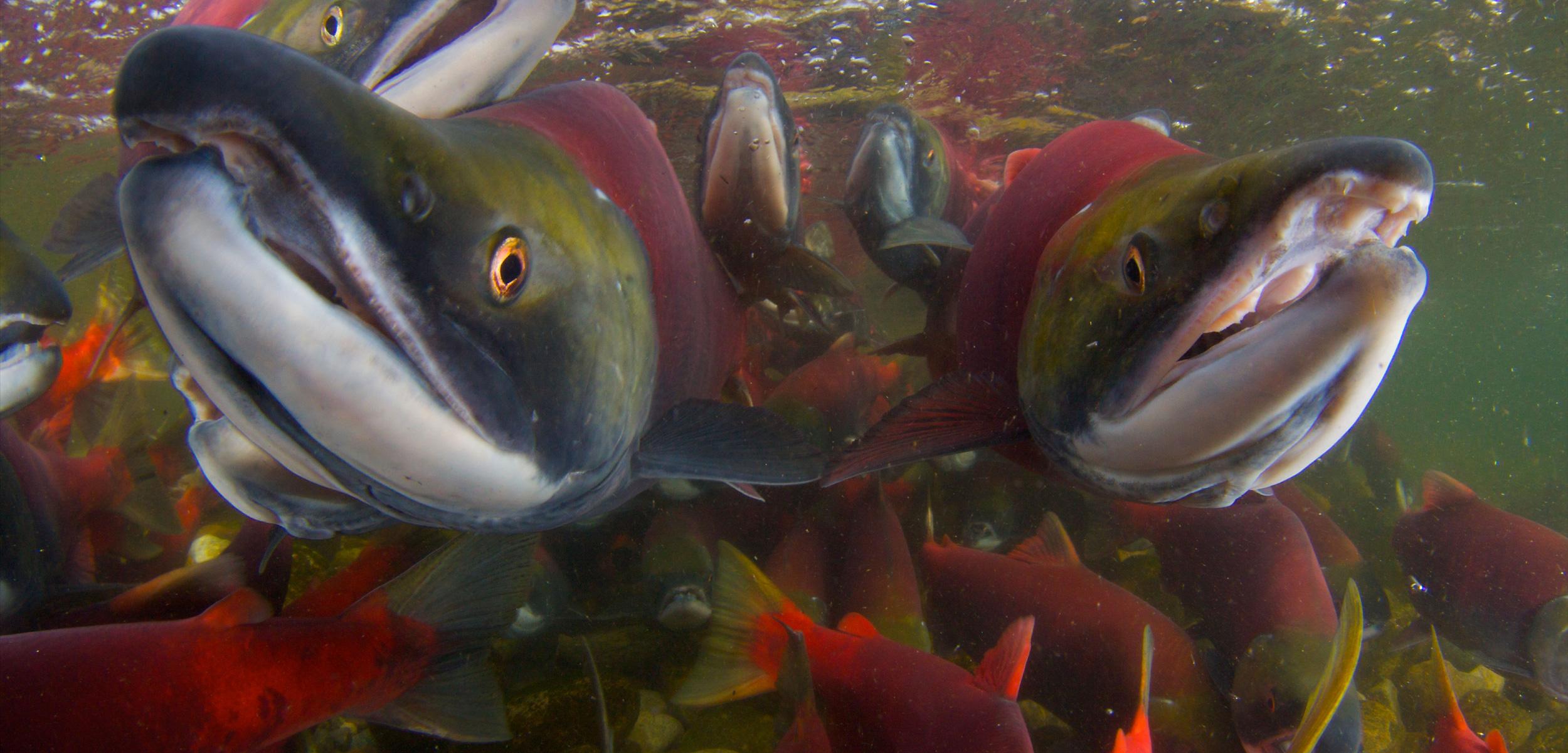 Saving Canada's Wild Salmon Policy | Hakai Magazine