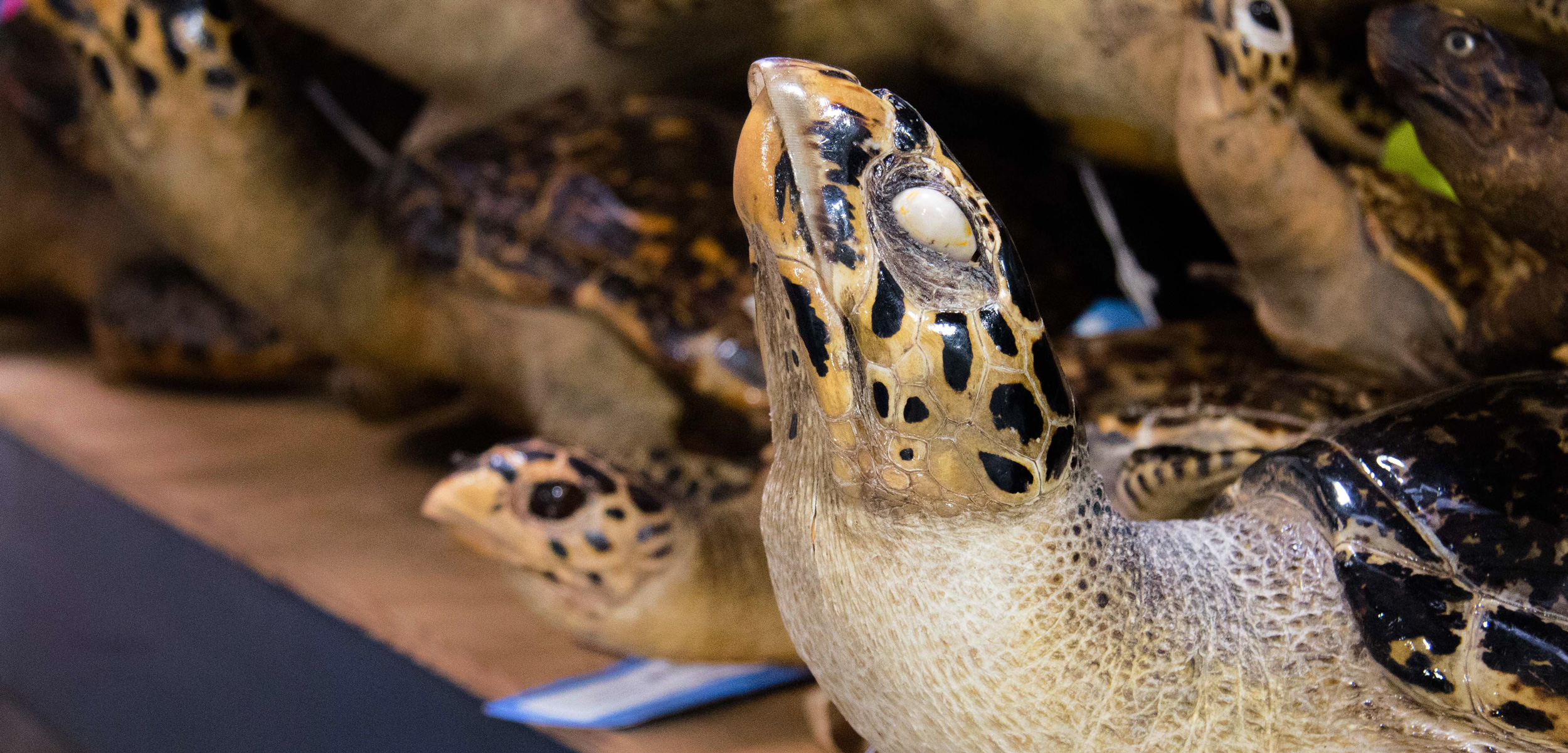 Mounted hawksbill sea turtles are among the many coastal wildlife products housed at the National Wildlife Property Repository near Denver, Colorado. The critically endangered turtles are often poached from the wild for their meat, skin, and shells. Photo by Gloria Dickie