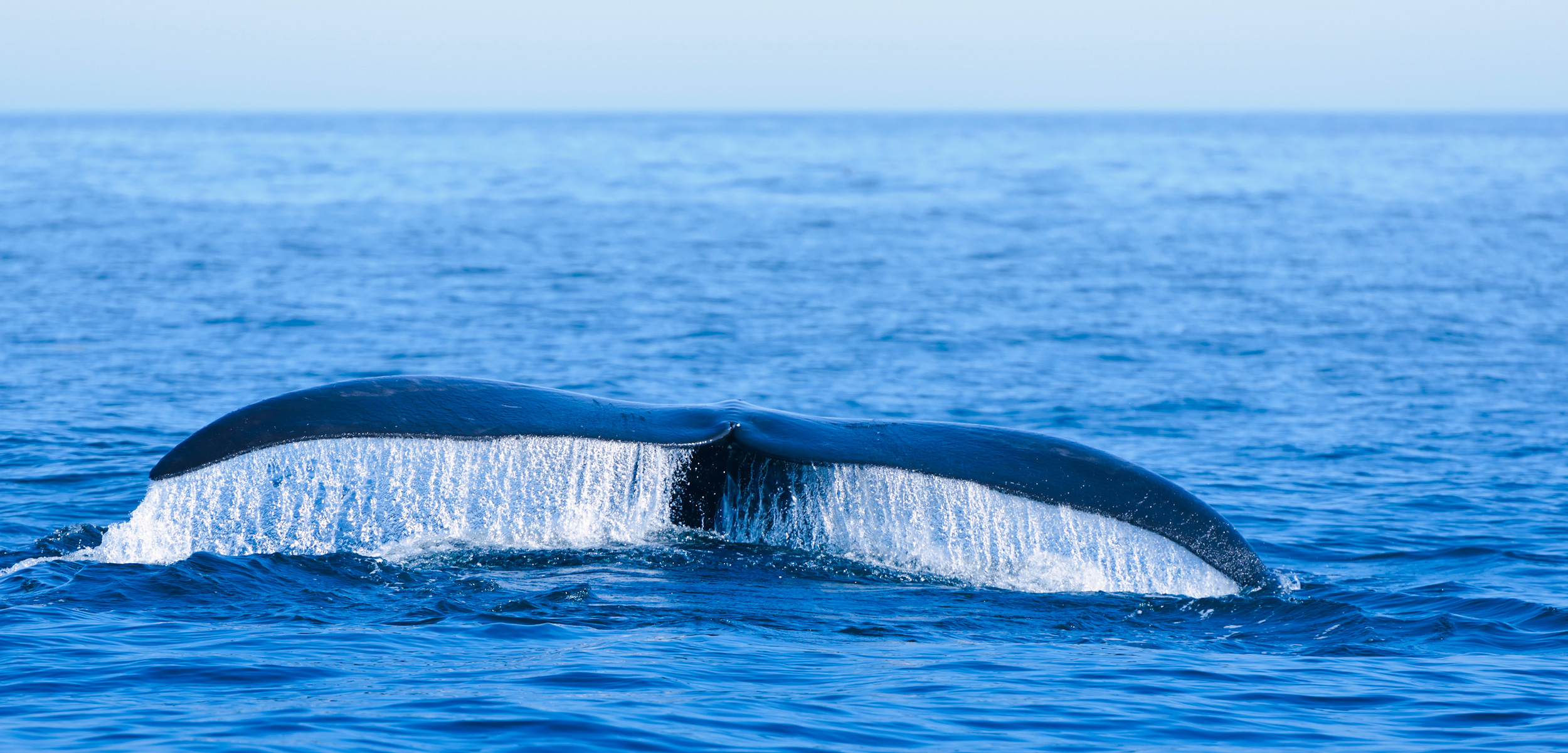 The North Pacific wrong whale is an often-overlooked cetacean. Photo by Mel Hermanville