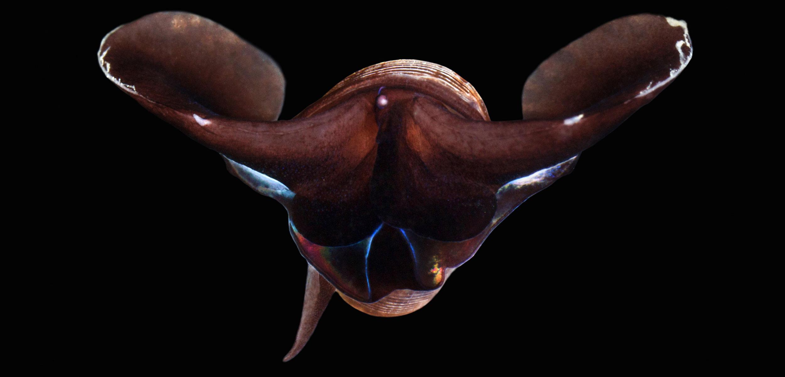 A sea butterfly (Limacina helicina)