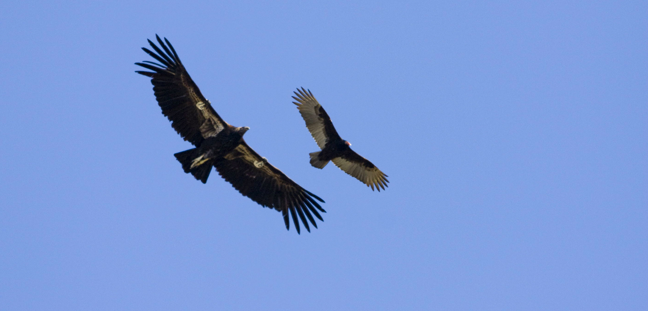 California condors in flight