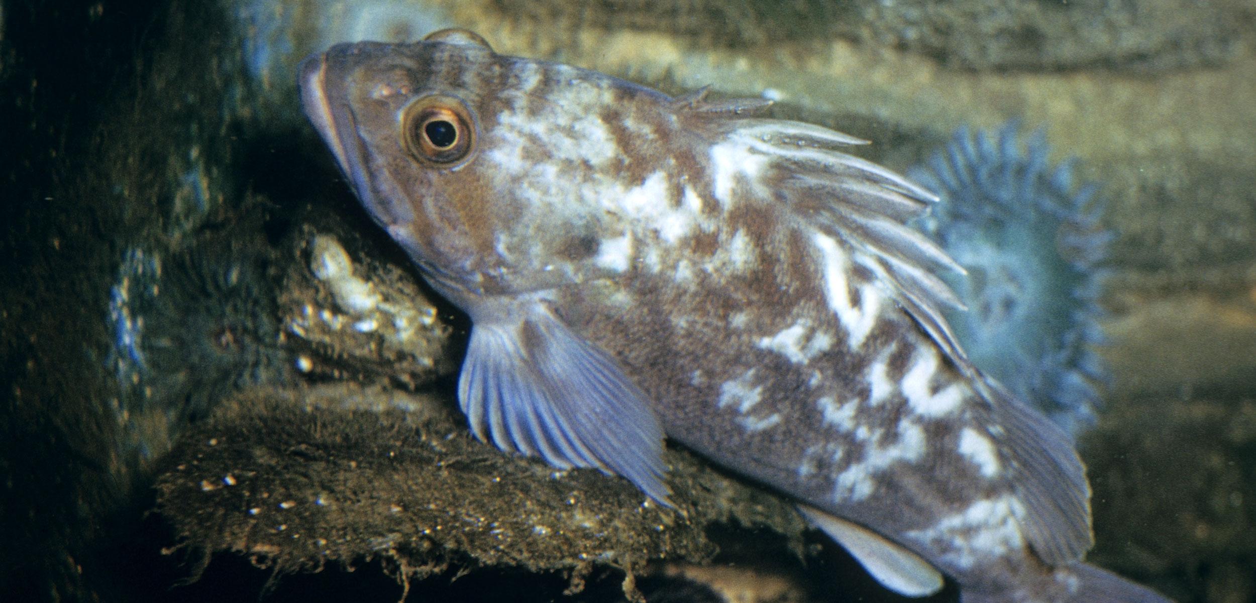 Kelp Rockfish (Sebastoides atrovirens) California