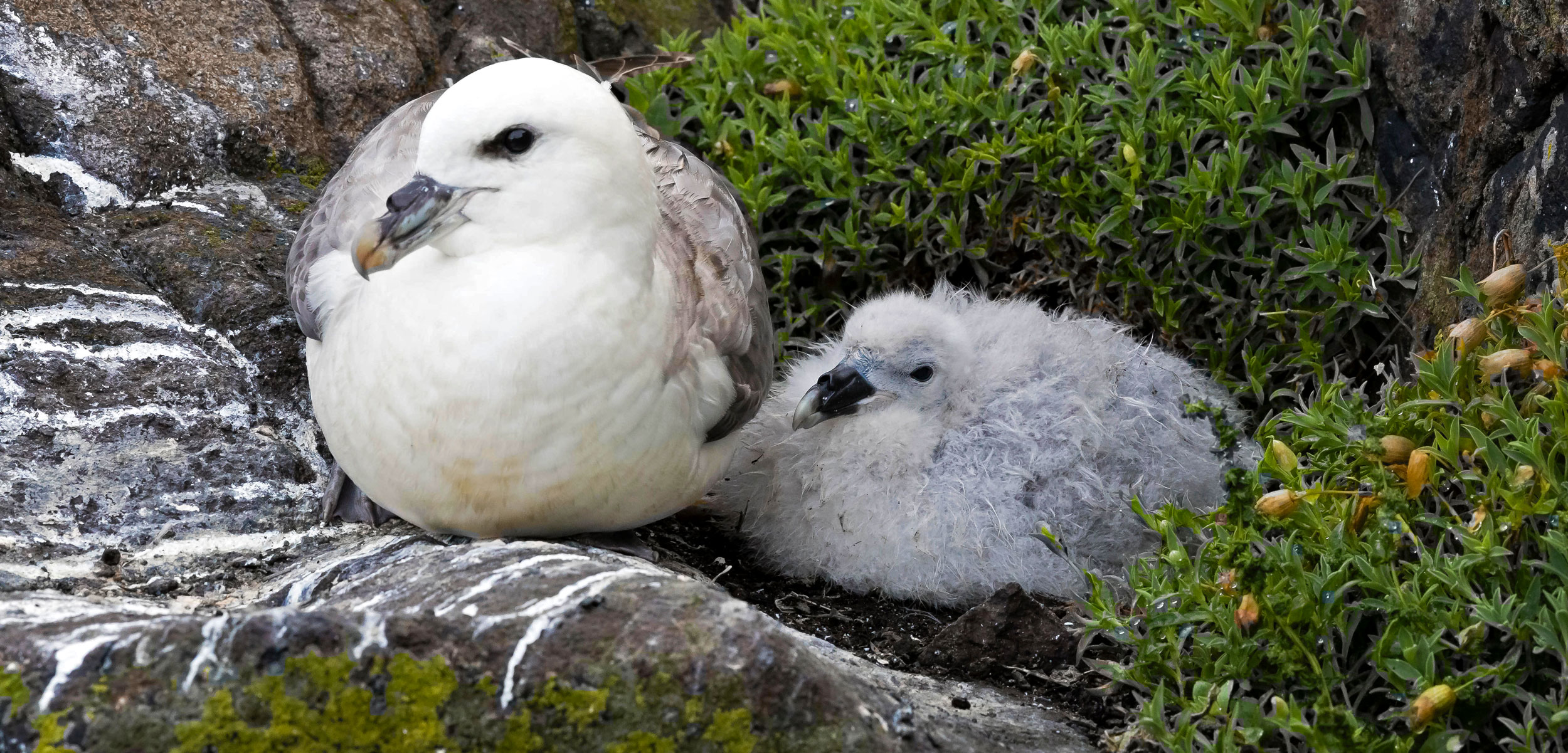 fulmars in their nest