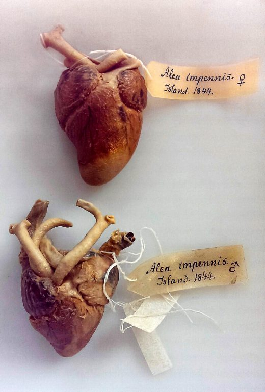 preserved great auk hearts