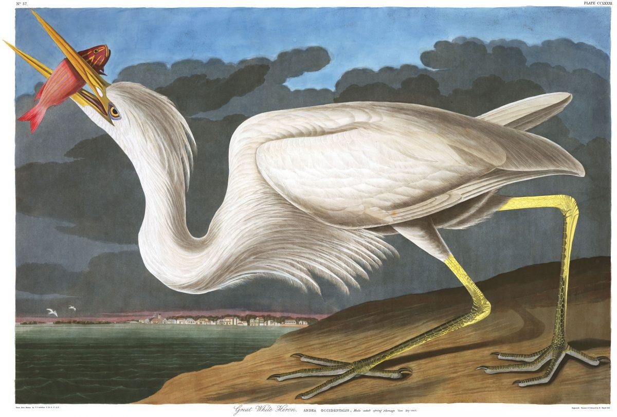 great white heron print by John James Audubon