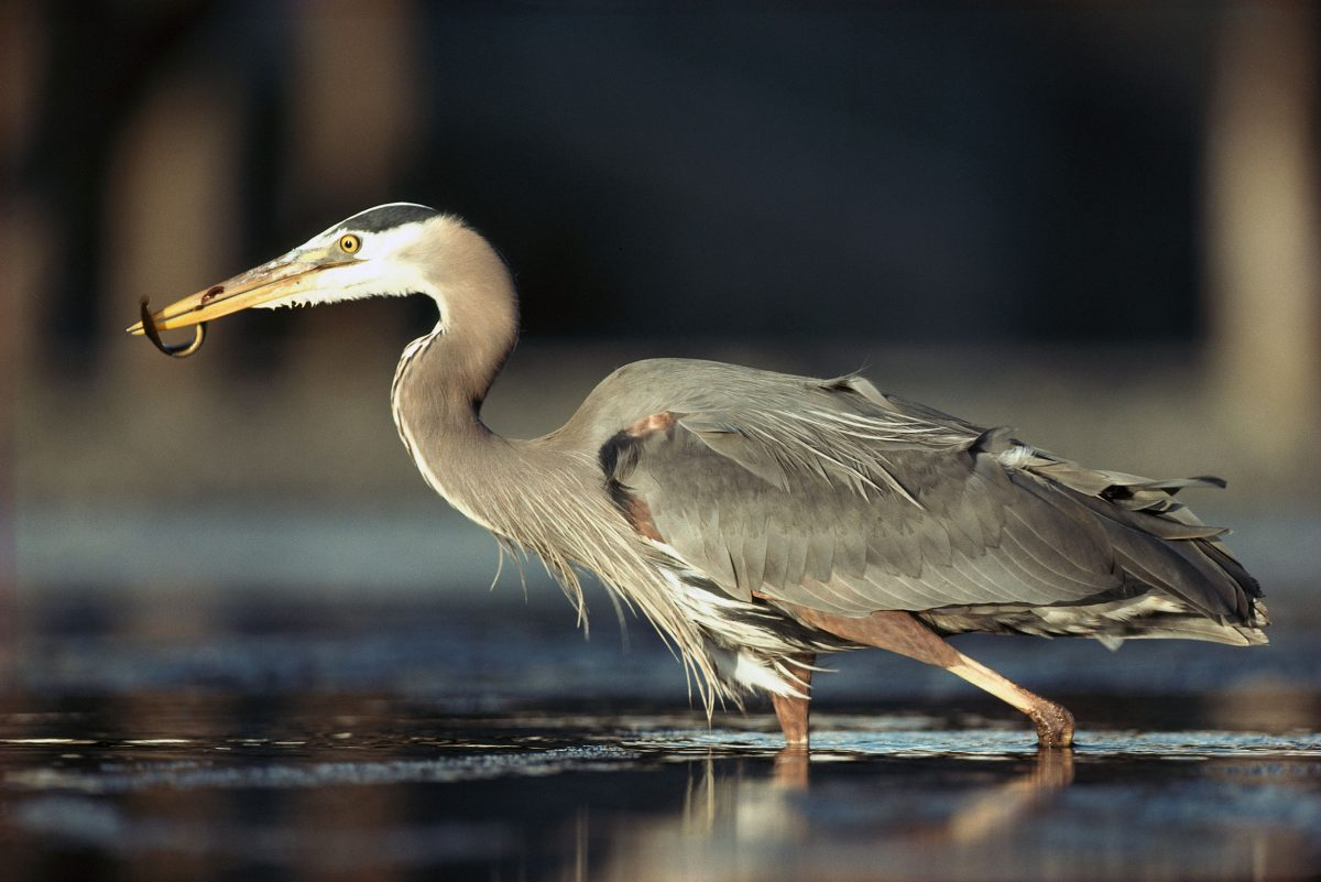 a great blue heron with a fish in its beak