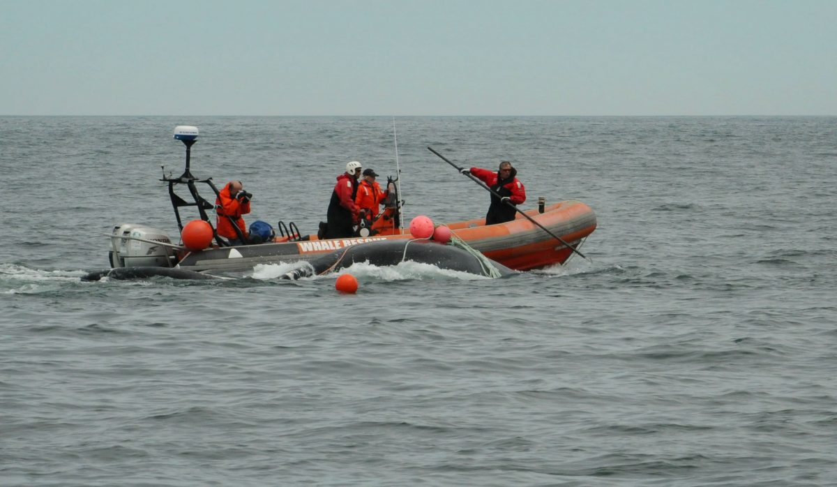 Team tried to rescue an entangled whale.