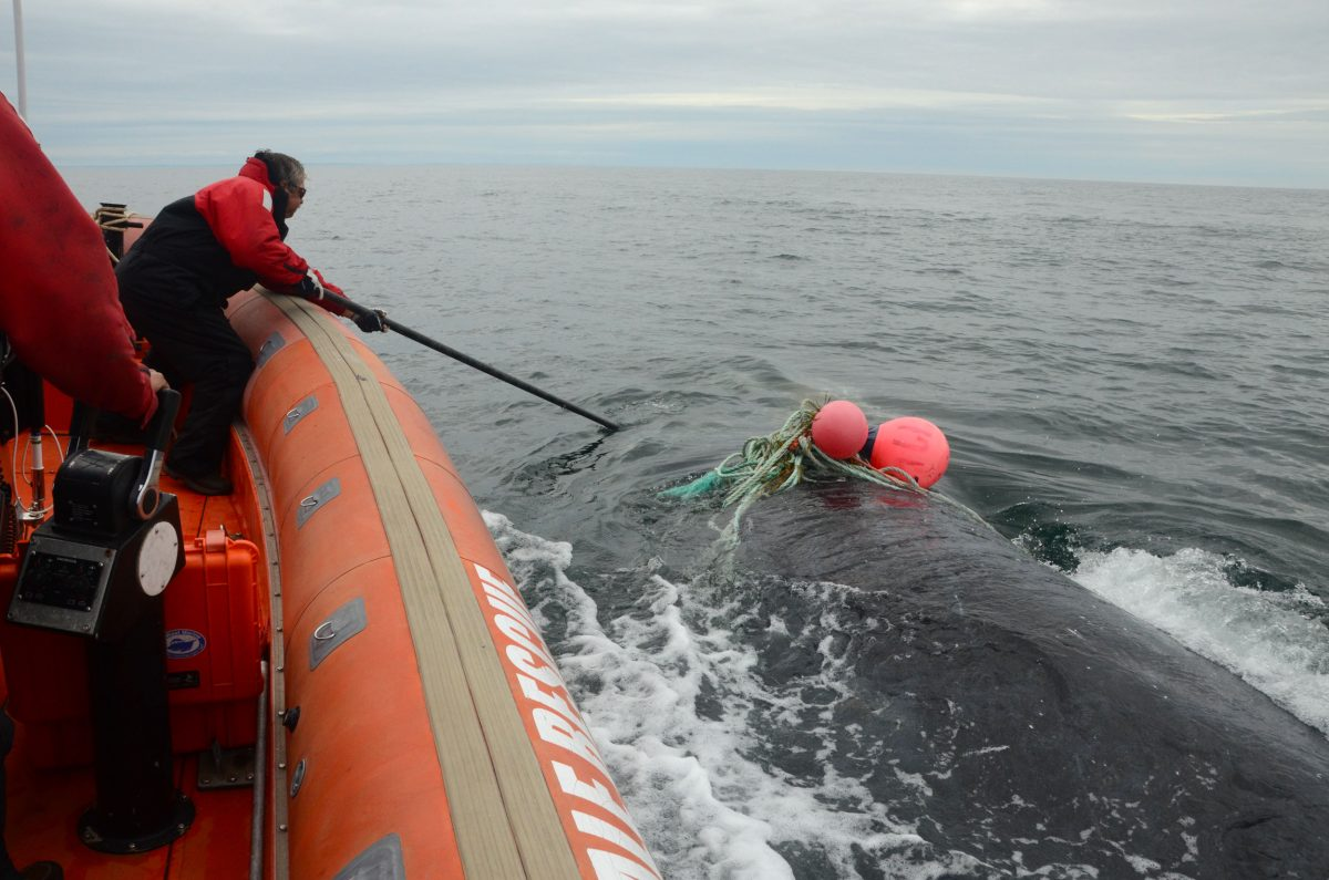 Joe Howlett attempting to rescue a right whale entangled in snow crab gear
