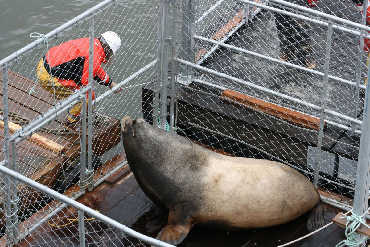 sea lion Hugh Mungus at the Bonneville Dam