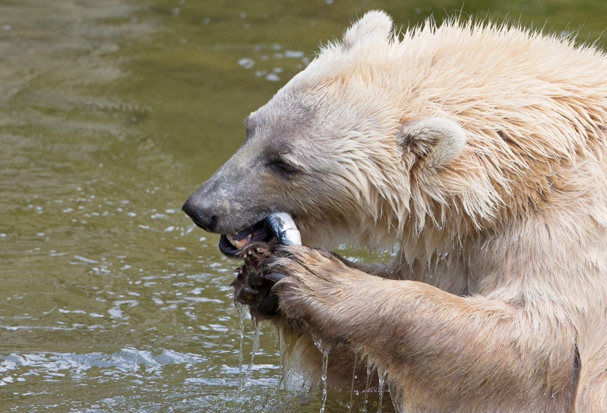 brown bear-polar bear hybrid