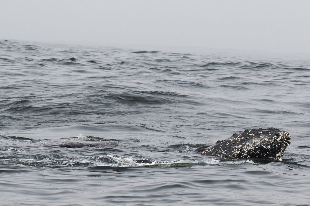 humpback whale touching dead gray whale calf