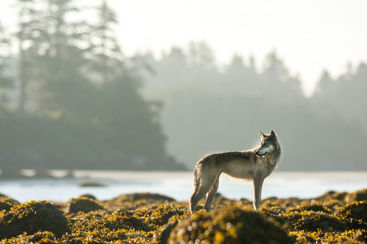 Wolves are an important part of First Nations' traditions and stories on the coast. Photo by April Bencze