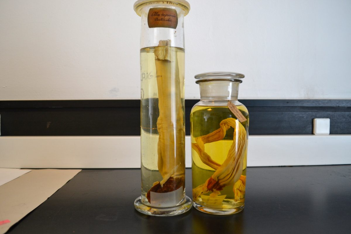 jars containing preserved great auk organs