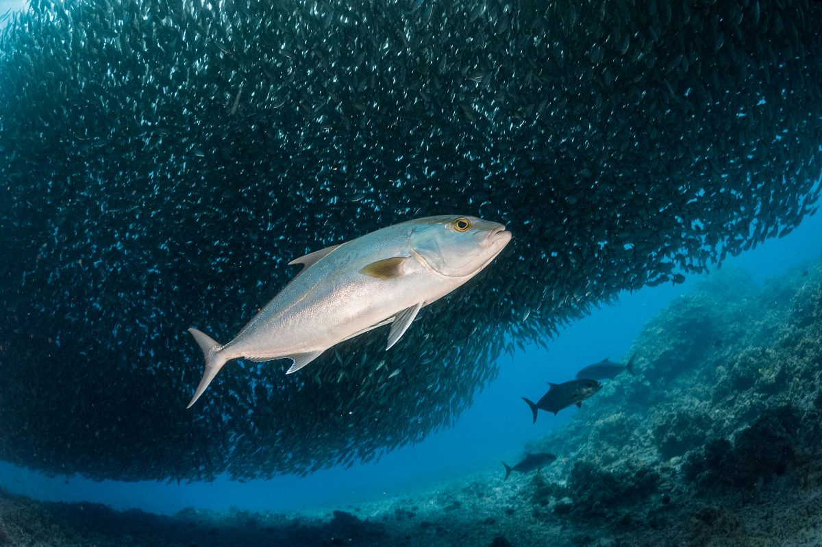 greater amberjack or kahala, Seriola dumerili, hunting in school of akule or bigeye scad