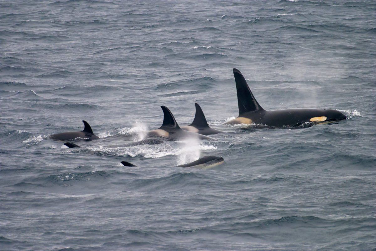 A pod of killer whales swims off the coast of the Kamchatka Peninsula in Russia's far east. Photo by Martin Hale/Minden Pictures